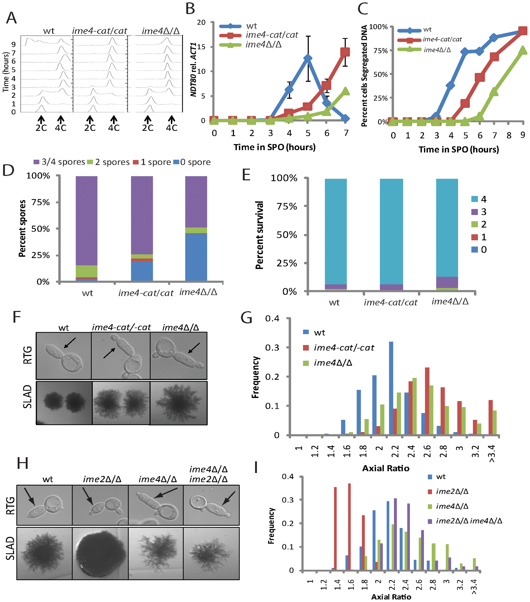 Cells encoding <i>IME4</i> mutant alleles show developmental defects.