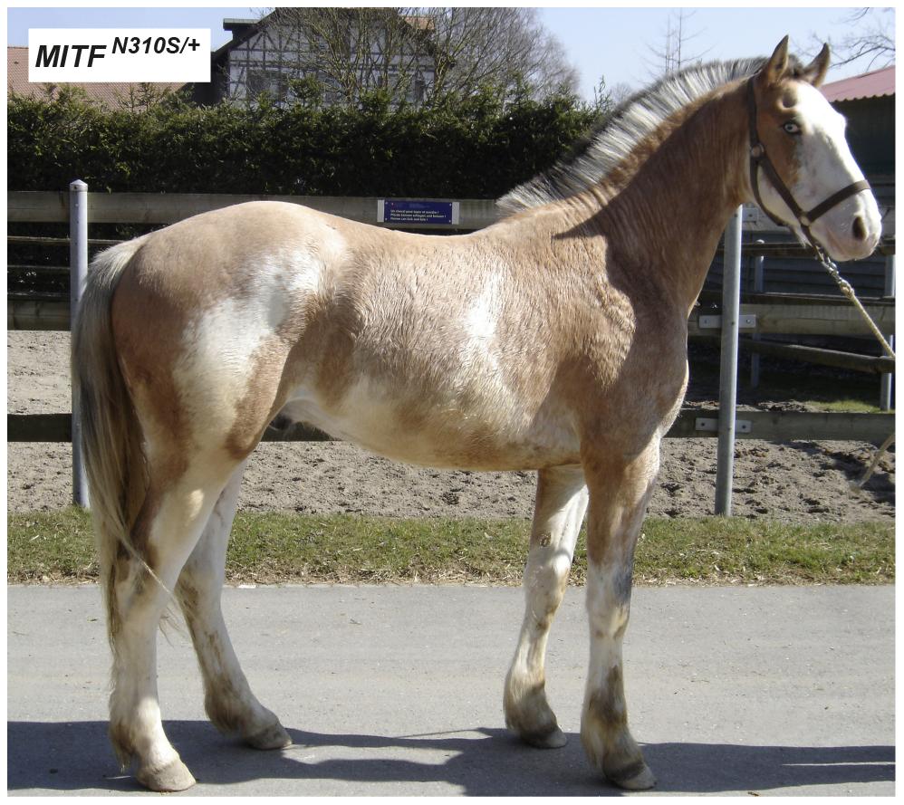 Macchiato coat color phenotype in a Franches-Montagnes stallion.