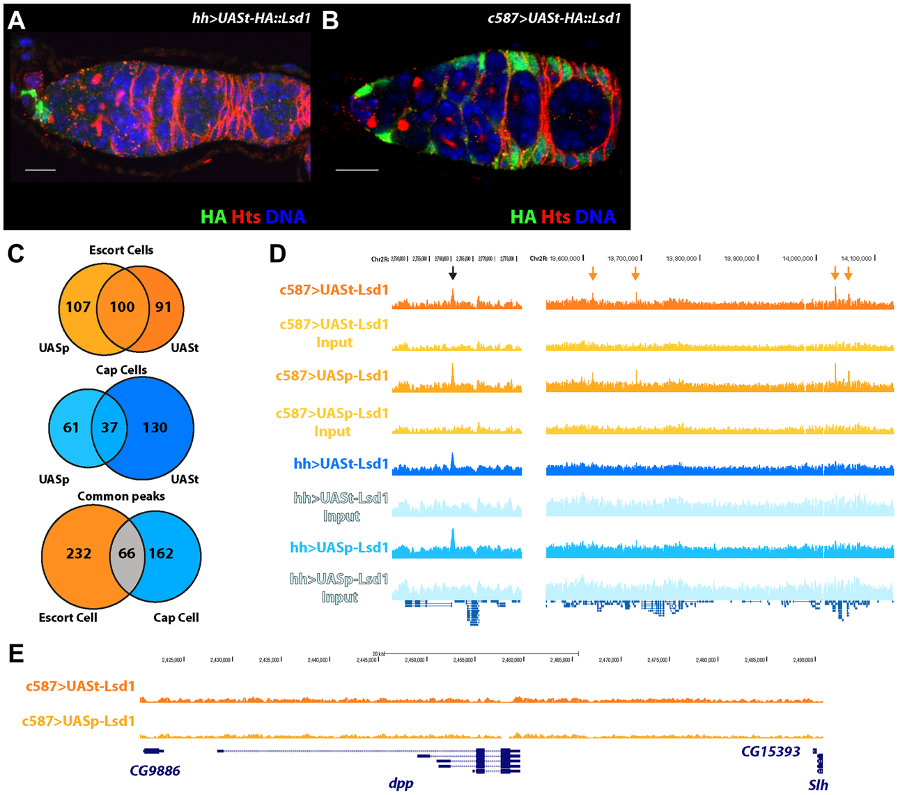 Defining the targets of Lsd1 in the cap cell niche and the surrounding escort cells within <i>Drosophila</i> germaria.