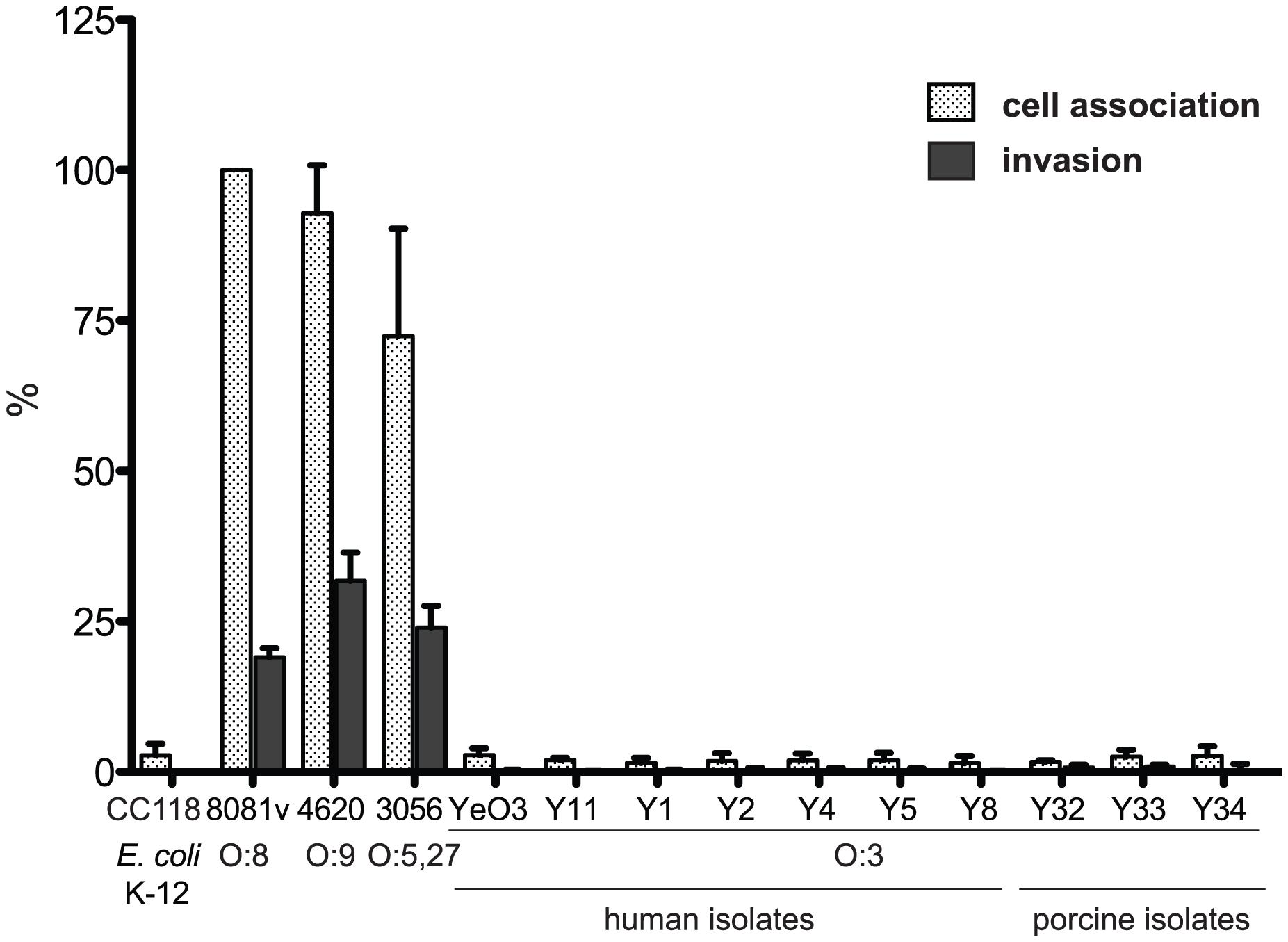 <i>Y. enterocolitica</i> O:3 interaction with epithelial cells.