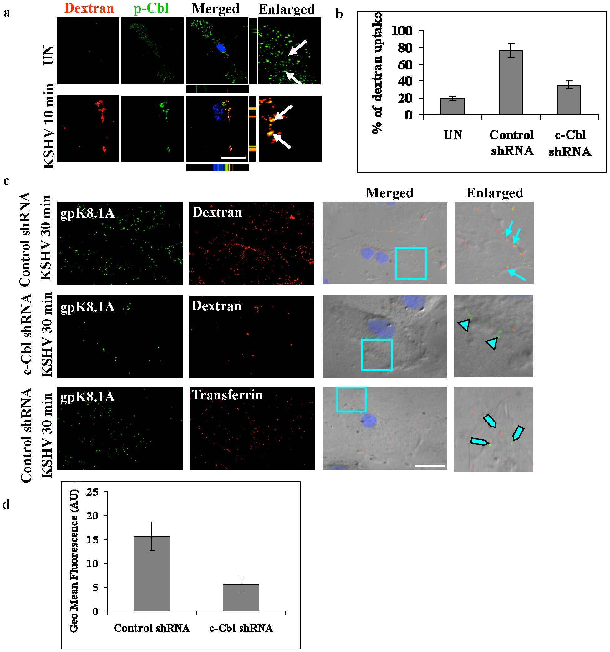 c-Cbl is involved in macropinocytosis of KSHV.