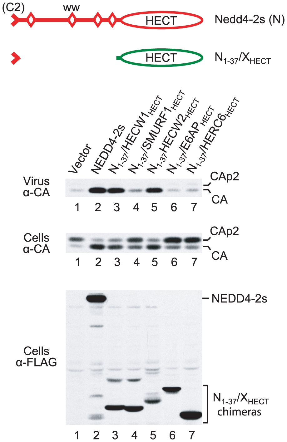 Rescue of HIV-1<sub>ΔPTAPP</sub> by isolated HECT domains fused to the NEDD4-2s residual C2 domain.