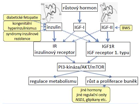 Signalizační kaskáda inzulinu, IGF-I a IGF-II. Inzulinový receptor a 1. typ receptoru pro IGF jsou podobné a částečně homologní, proto mají částečnou zkříženou afinitu ke svým ligandům. Při vysokých hladinách inzulinu (syndromy vrozené inzulinové rezistence, ale také diabetická fetopatie) proto dochází k nadměrnému růstu do délky; nadměrná exprese IGF-II (u Beckwithova-Wiedemannova syndromu) způsobuje nejen nadměrný růst, ale také hypoglykemie.
