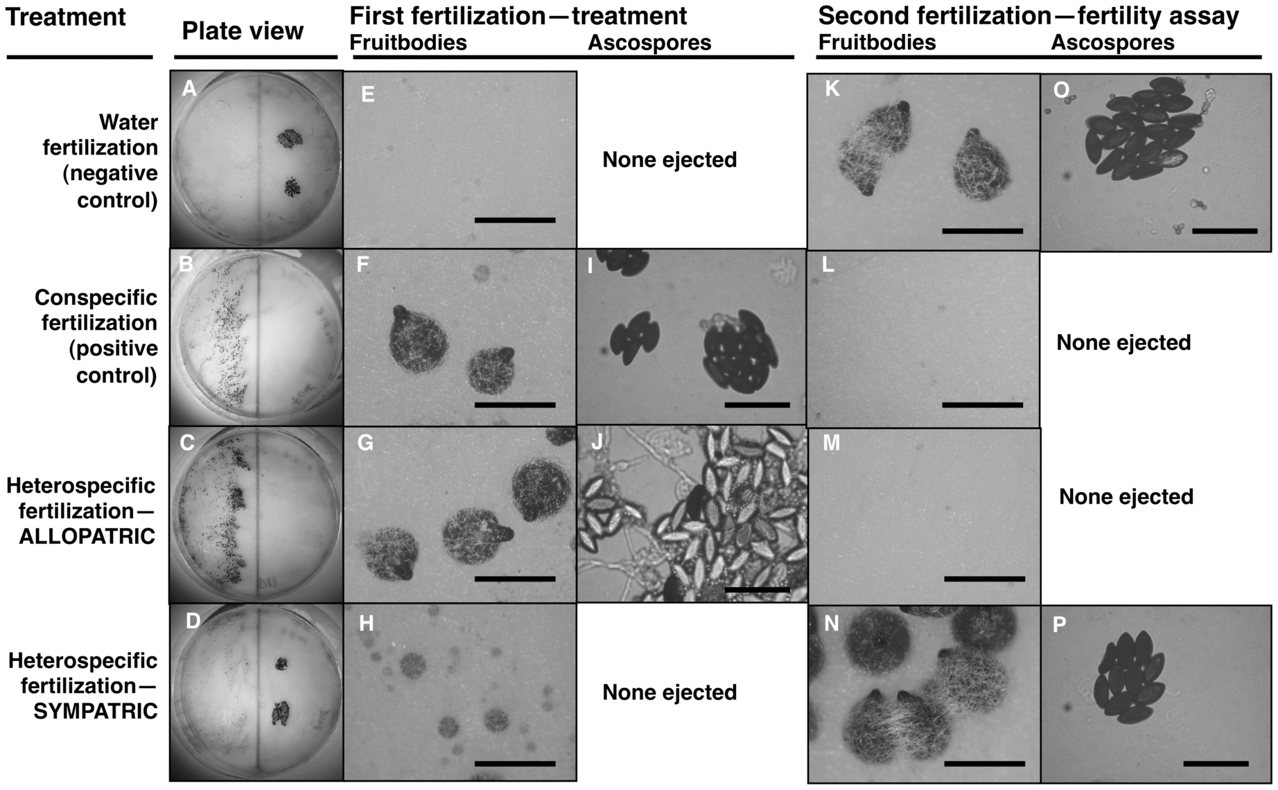 Maternal fitness of sequentially mated <i>Neurospora</i>.