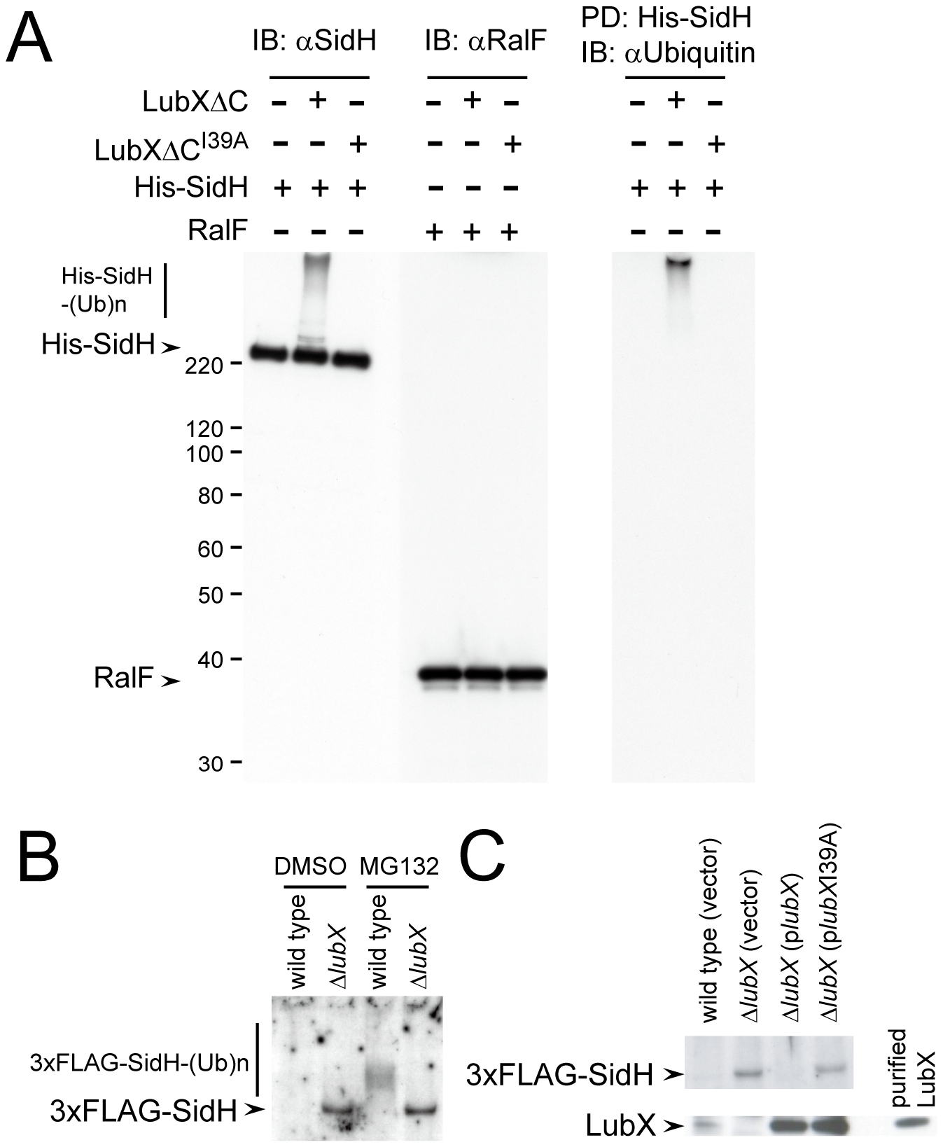 LubX promotes ubiquitination of SidH <i>in vitro</i> and within host cell.