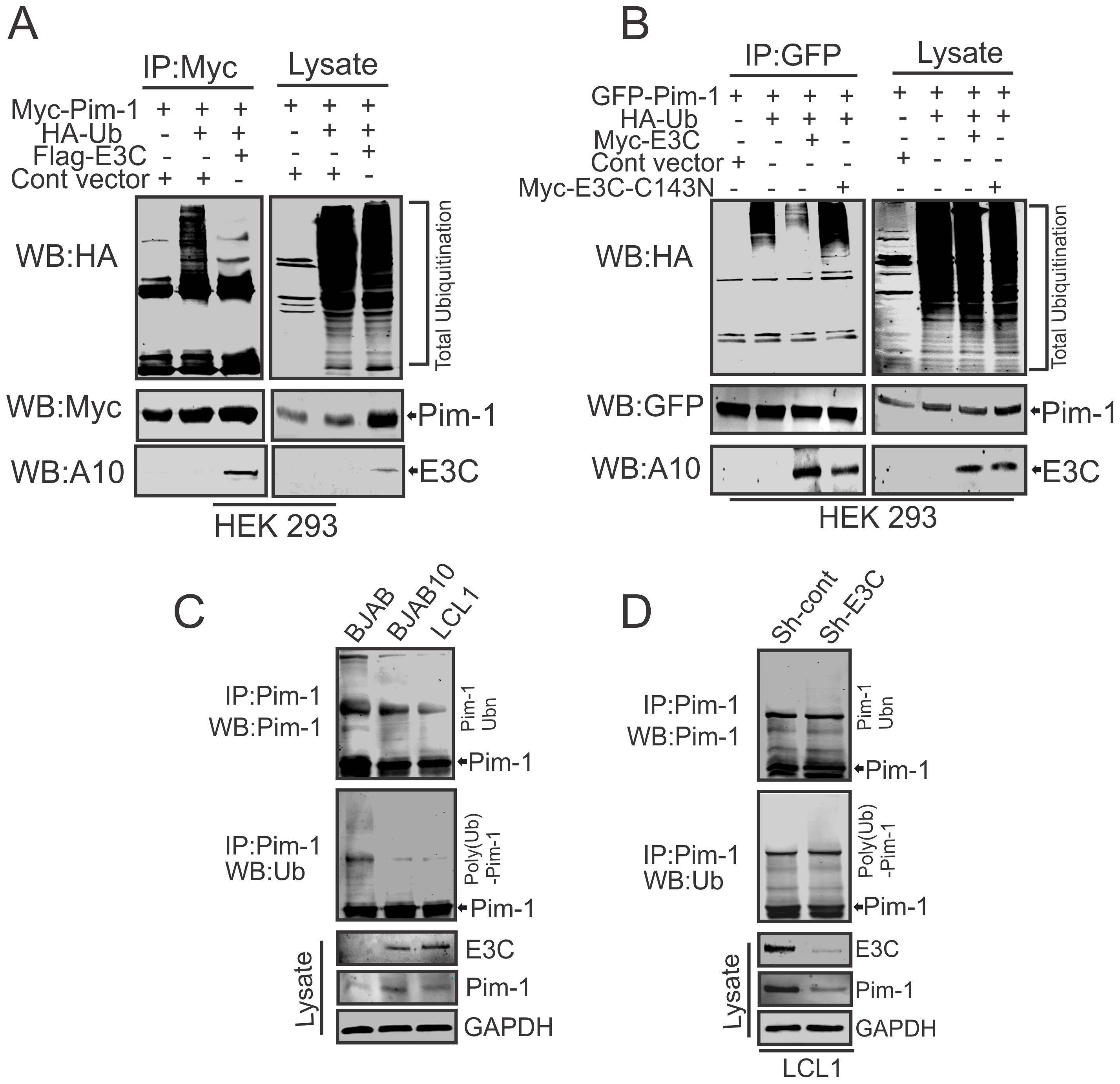 EBNA3C suppresses poly-ubiquitination of Pim-1.
