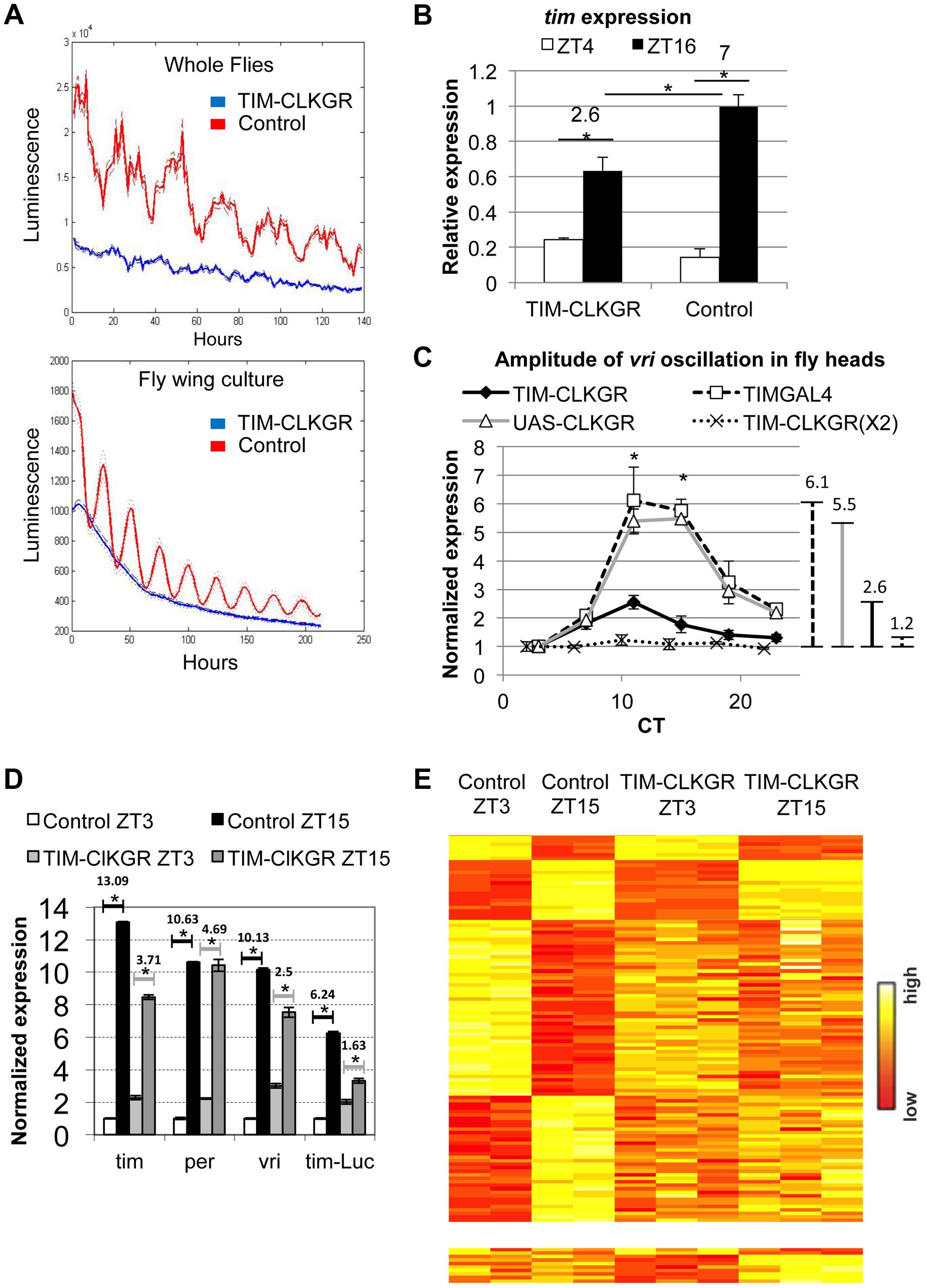 CLKGR expression decreases the amplitude of CLK-driven transcriptional oscillations.