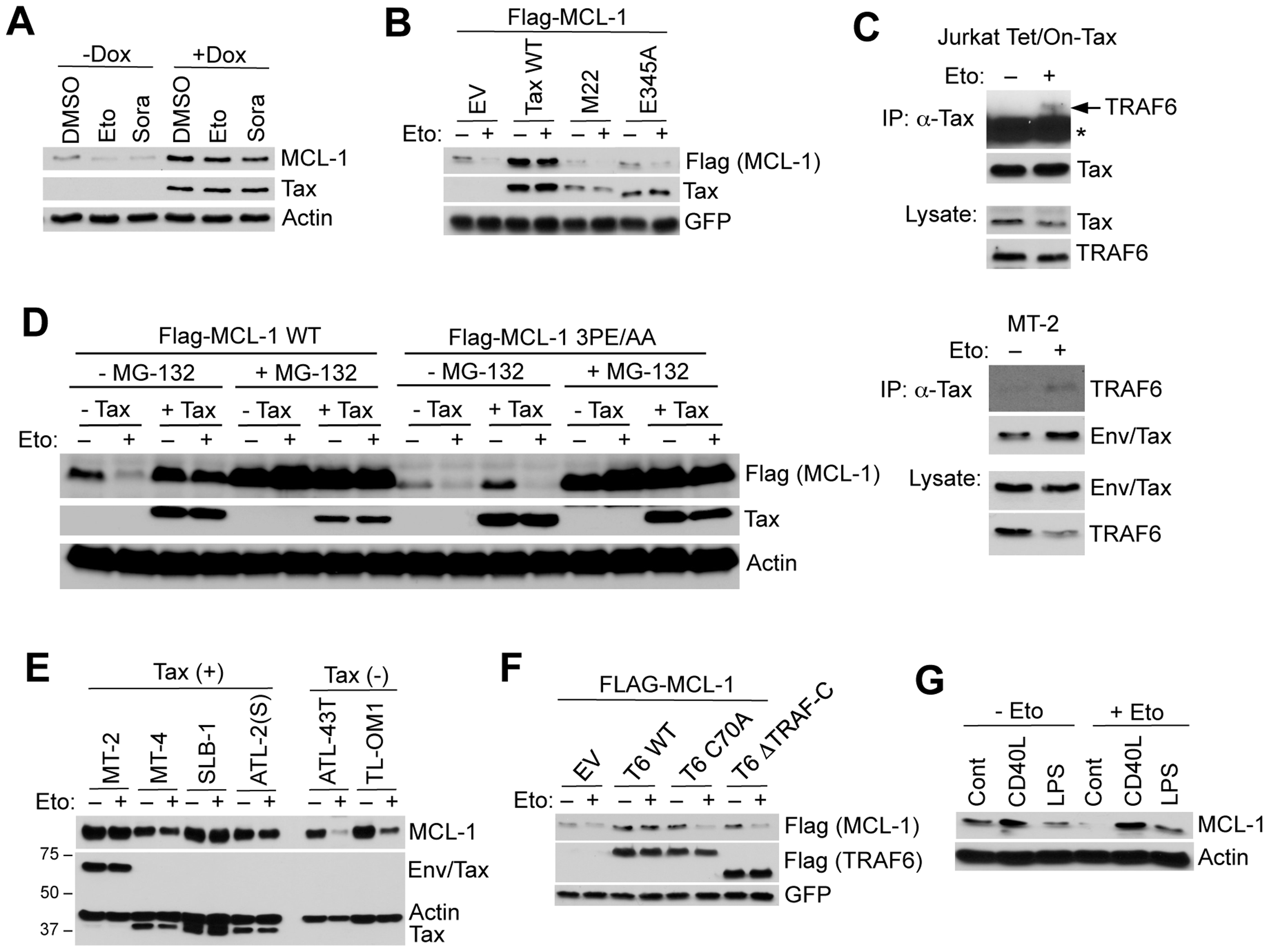Tax and TRAF6 protect MCL-1 from degradation induced by genotoxic stress stimuli.