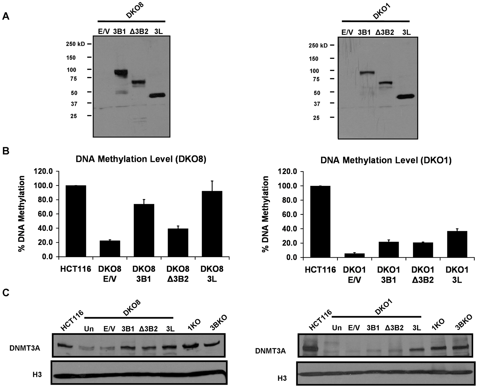 Increase in DNA methylation restores the DNMT3A protein level in DKO cells.