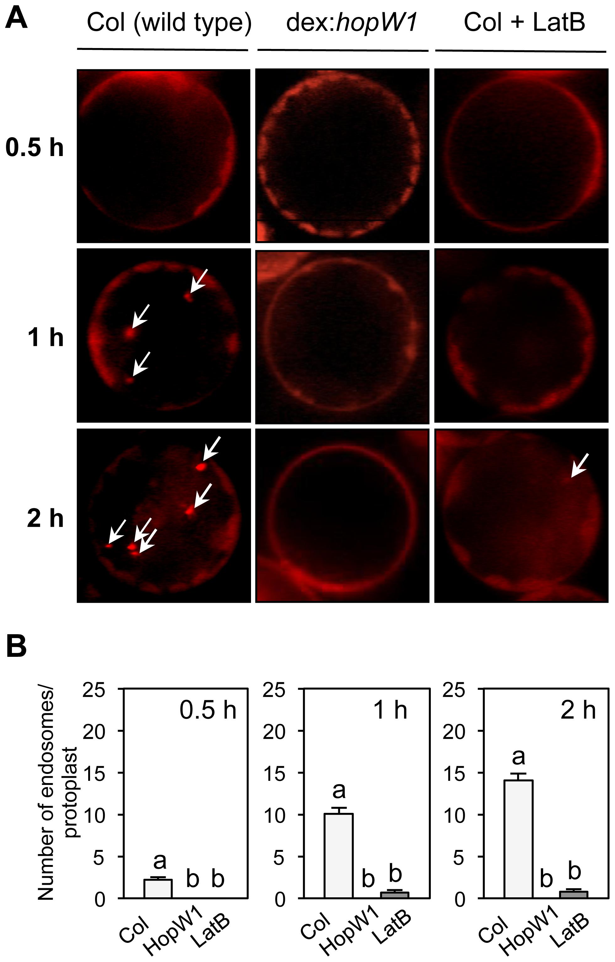 Endocytosis inhibition by HopW1 in Arabidopsis.