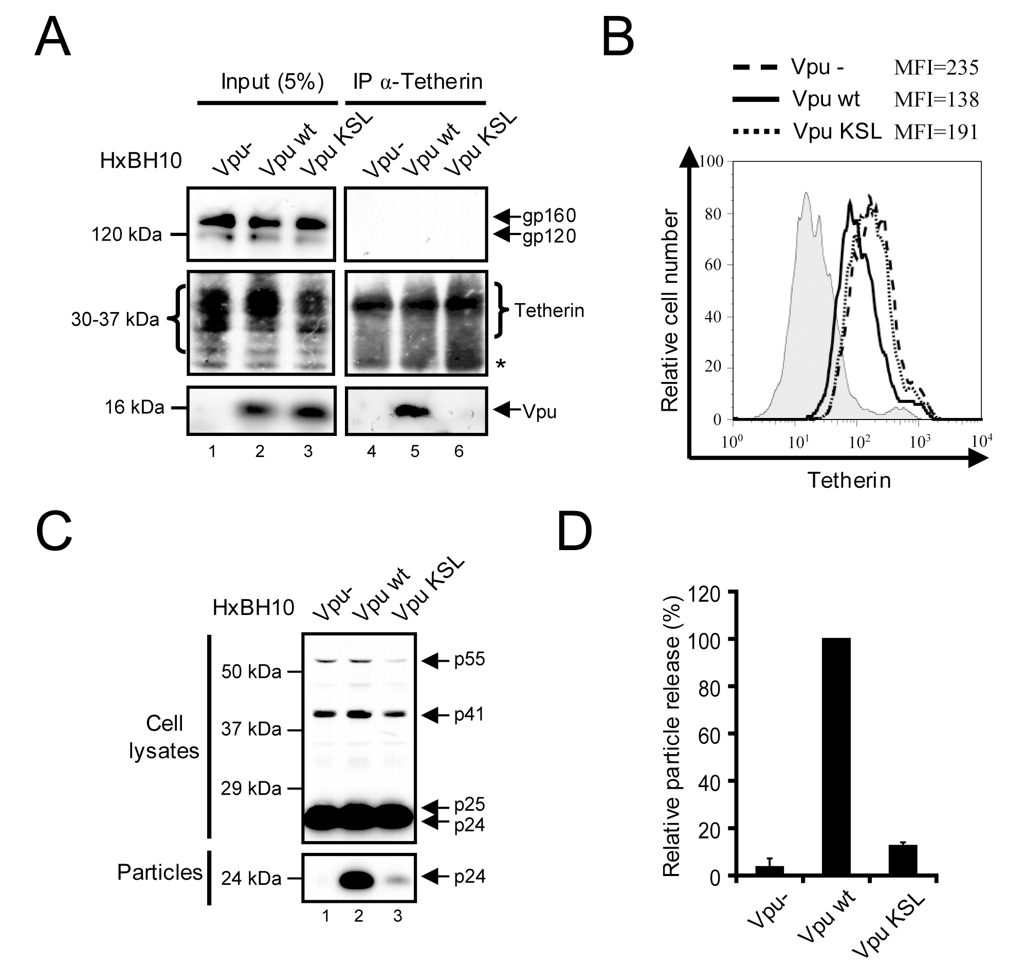 Association of Vpu to Tetherin is required to antagonize the antiviral activity of the restriction factor.