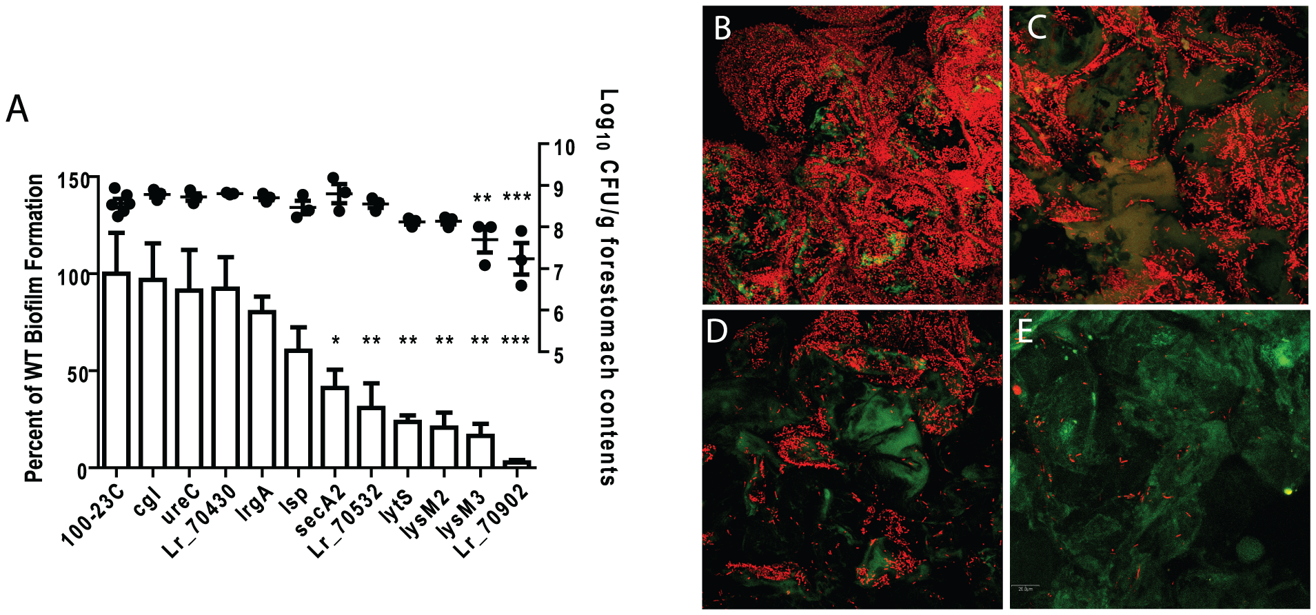 Characterization of <i>in vivo</i> biofilms of mutant strains of <i>L. reuteri</i> 100-23C.