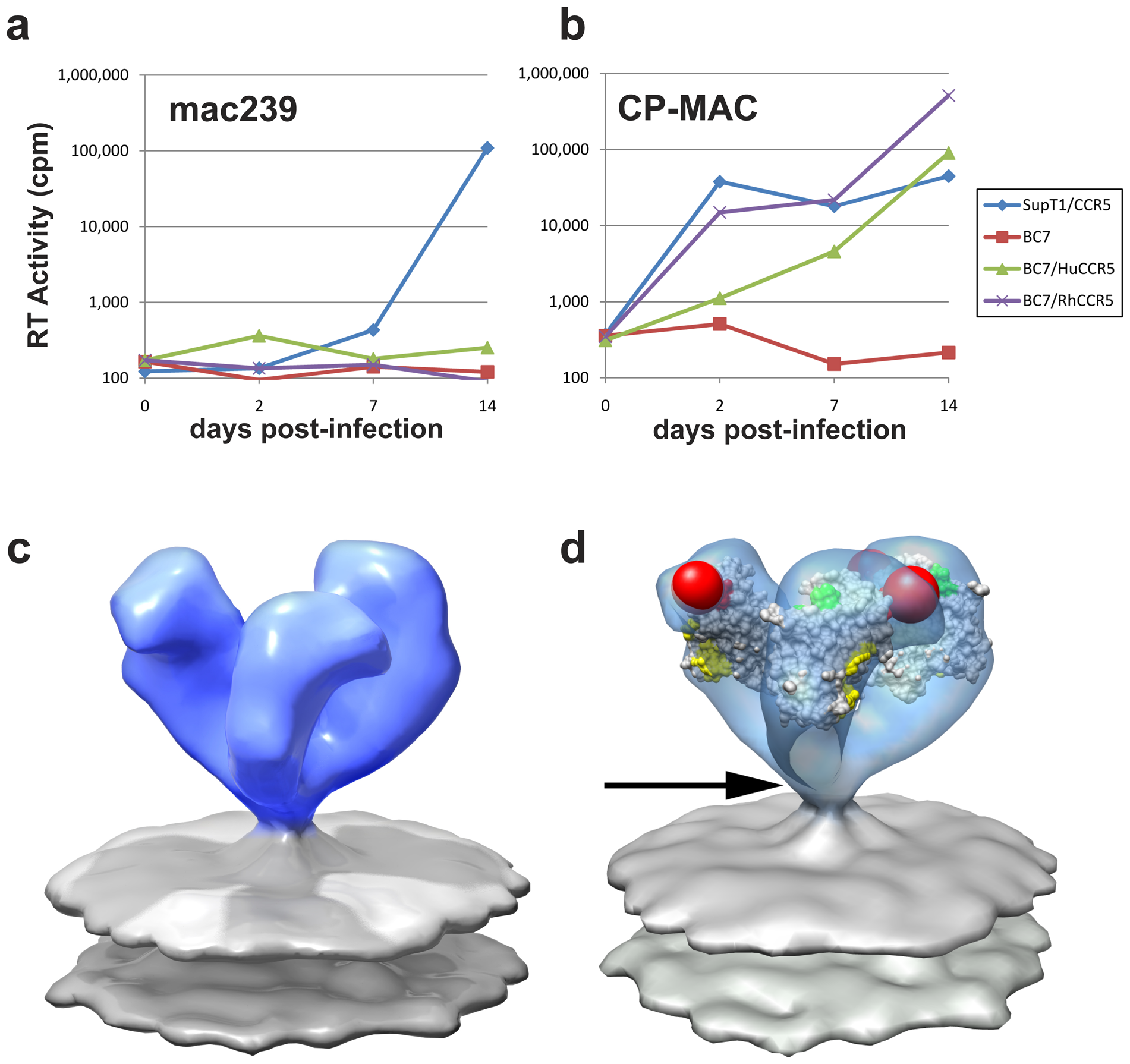 Molecular architecture of constitutively open trimeric SIV Env from the CD4-independent CP-MAC strain.