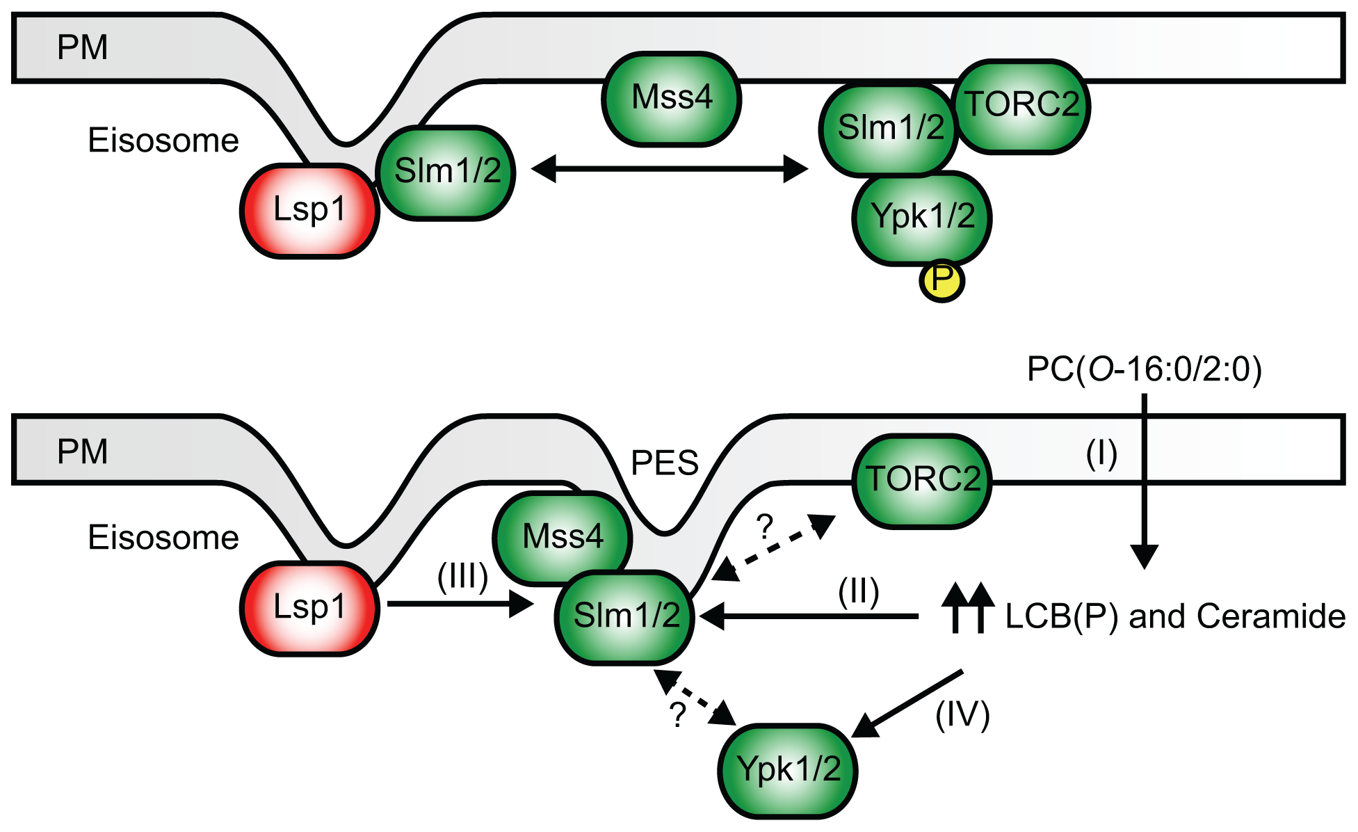 A simplified model of the impact of PC(<i>O</i>-16:0/2:0) on PtdIns(4,5)P<sub>2</sub> and TOR signaling.