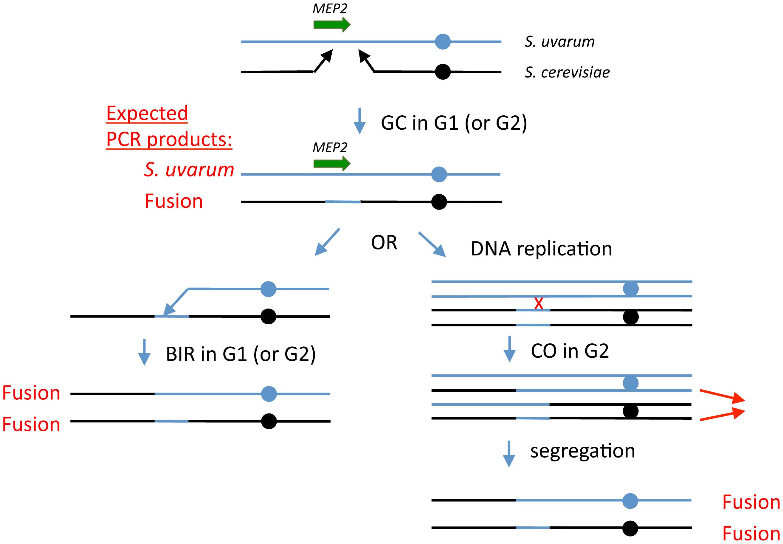 Model for generation of <i>MEP2</i> gene fusion rearrangements found evolved hybrids.