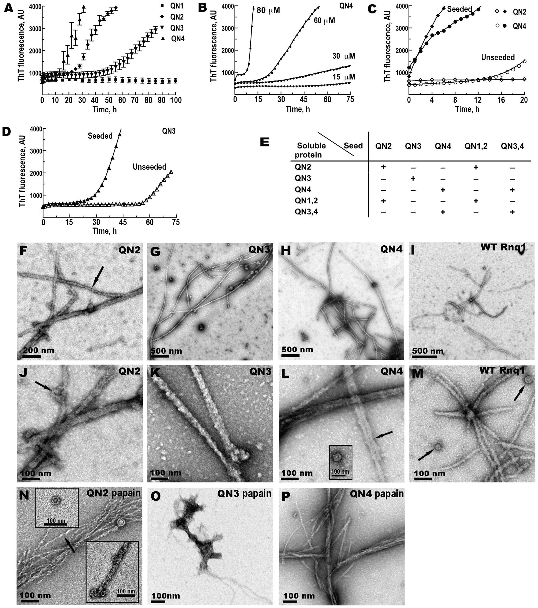 QN2 (ΔB1C2E4), QN3 (ΔB1C2E4), and QN4 (ΔB1C2D3), but not QN1 (ΔC2D3E4), can drive amyloid fiber formation <i>in vitro</i>.