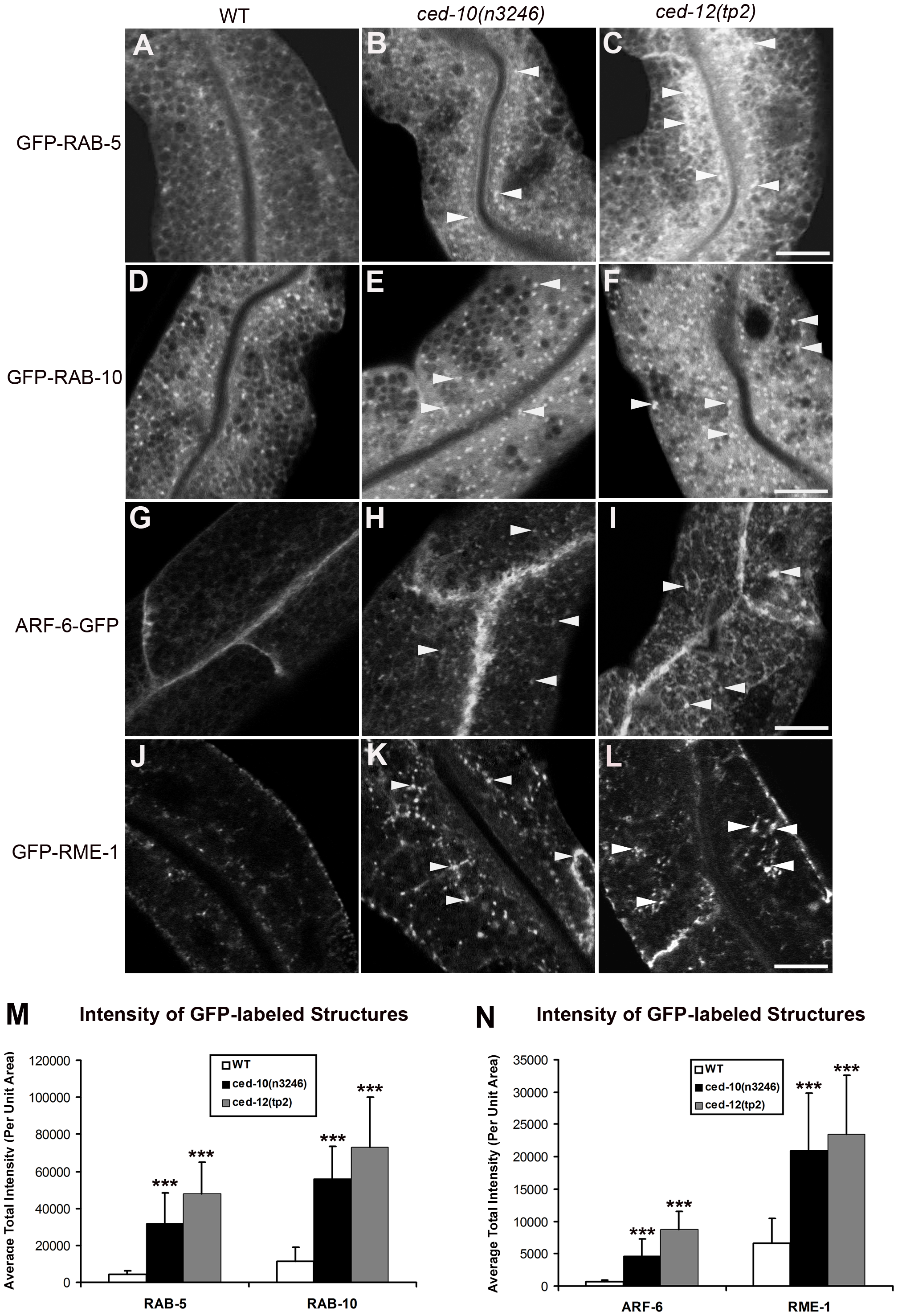 Abnormal accumulation of early and recycling endosomes markers in <i>ced-10(n3246)</i> and <i>ced-12(tp2)</i> mutants.