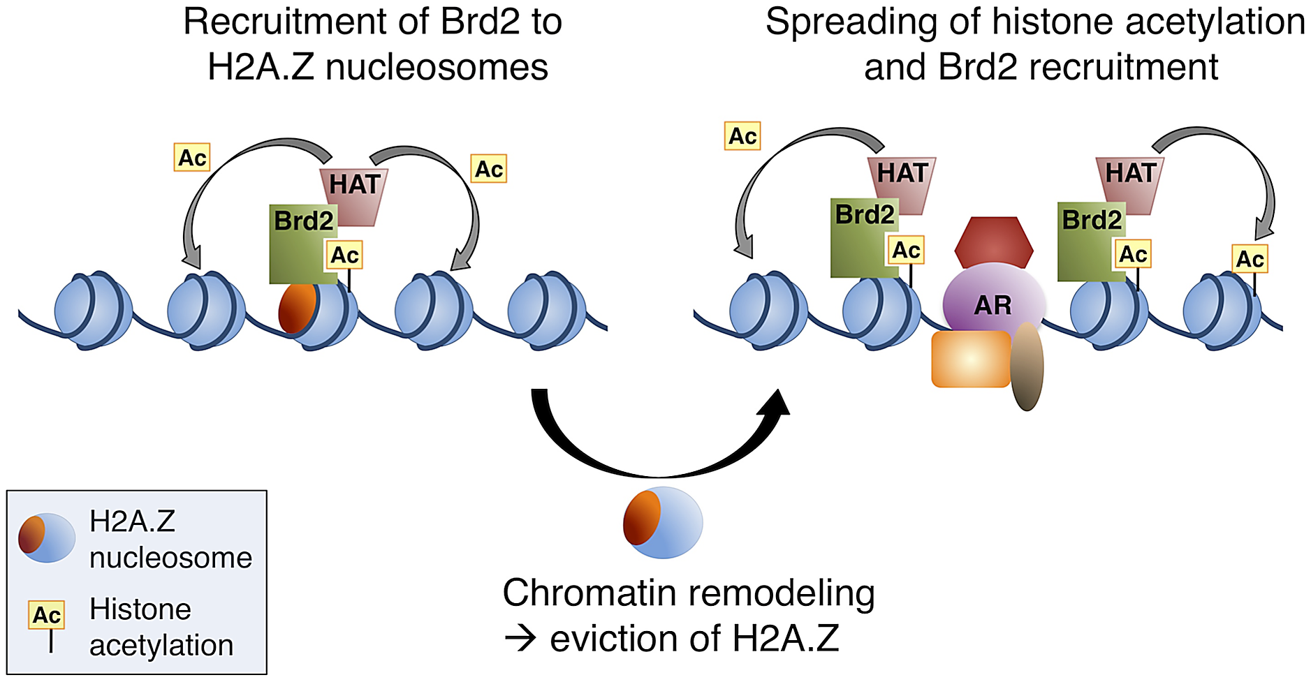A model of Brd2 recruitment to AR–regulated genes.