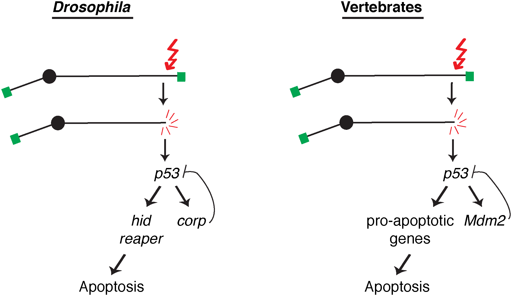 A comparison of competing pathways under P53 control in <i>Drosophila</i> and vertebrates.