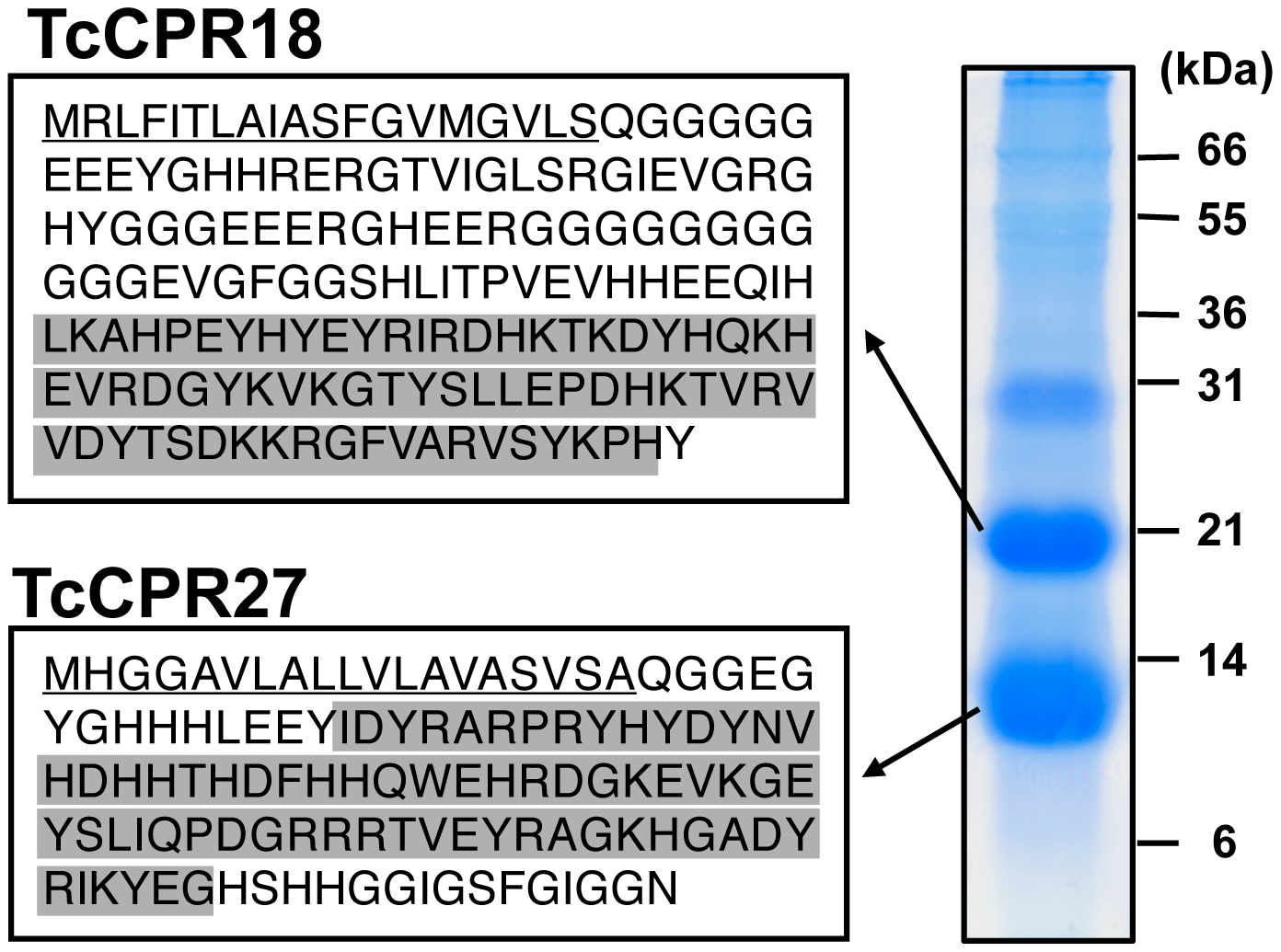 Identification of two major elytral cuticle proteins from <i>T. castaneum</i>.