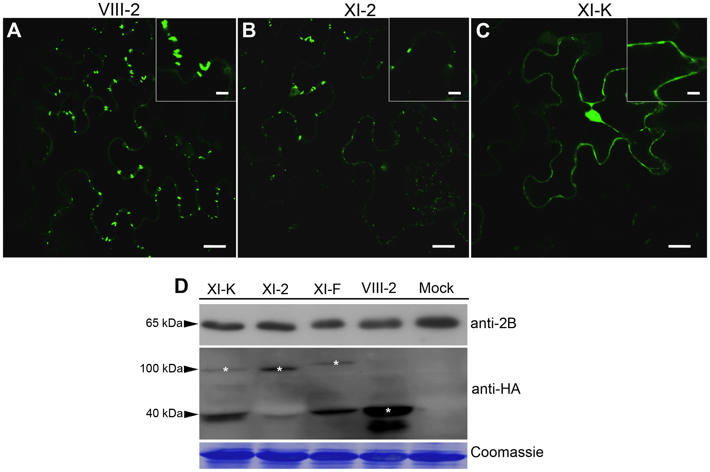 Transient expression of the myosin XI-K tail disrupts formation of the PD-associated tubules by the GFLV movement protein GFP:2B.