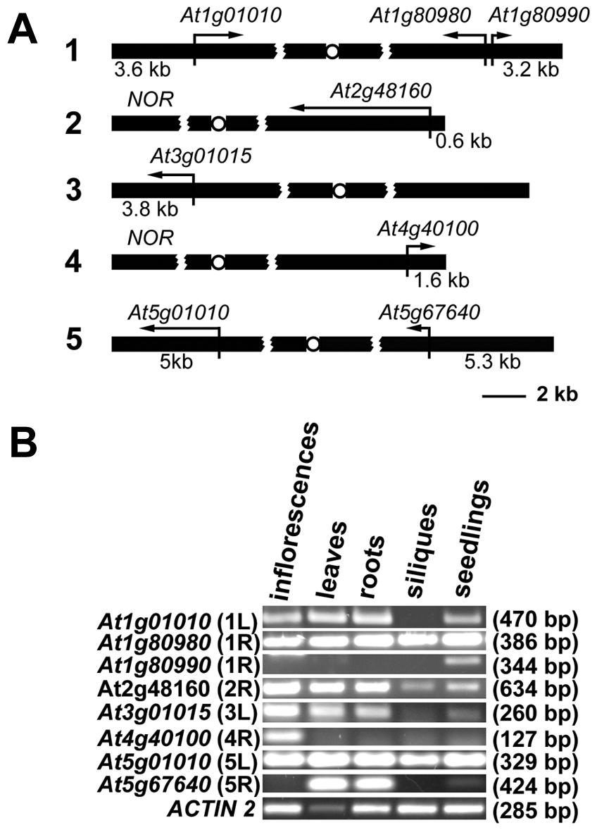Expression of <i>Arabidopsis</i> chromosome-terminal genes.
