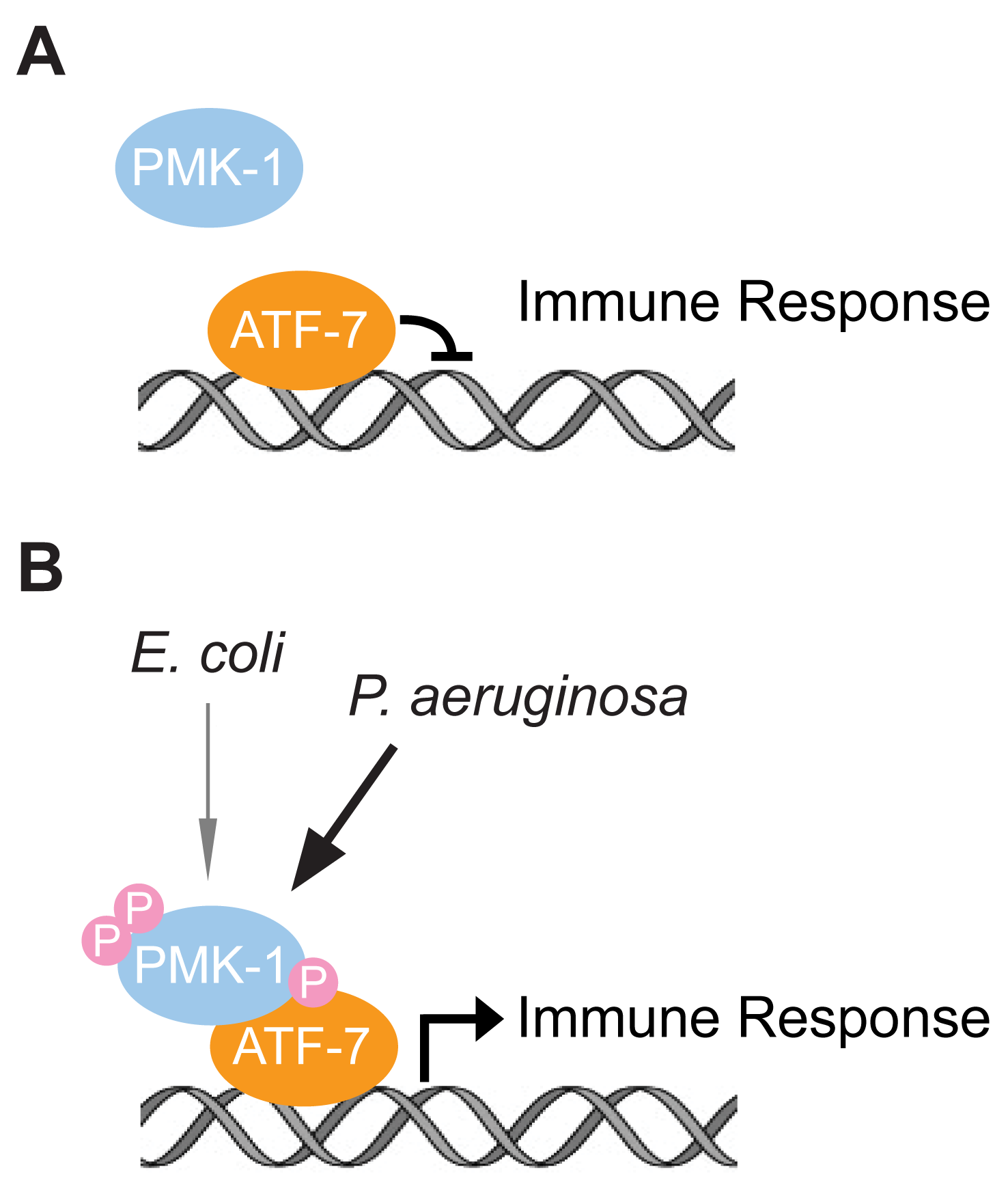 Model for the function of ATF-7 in <i>C. elegans</i> innate immunity.