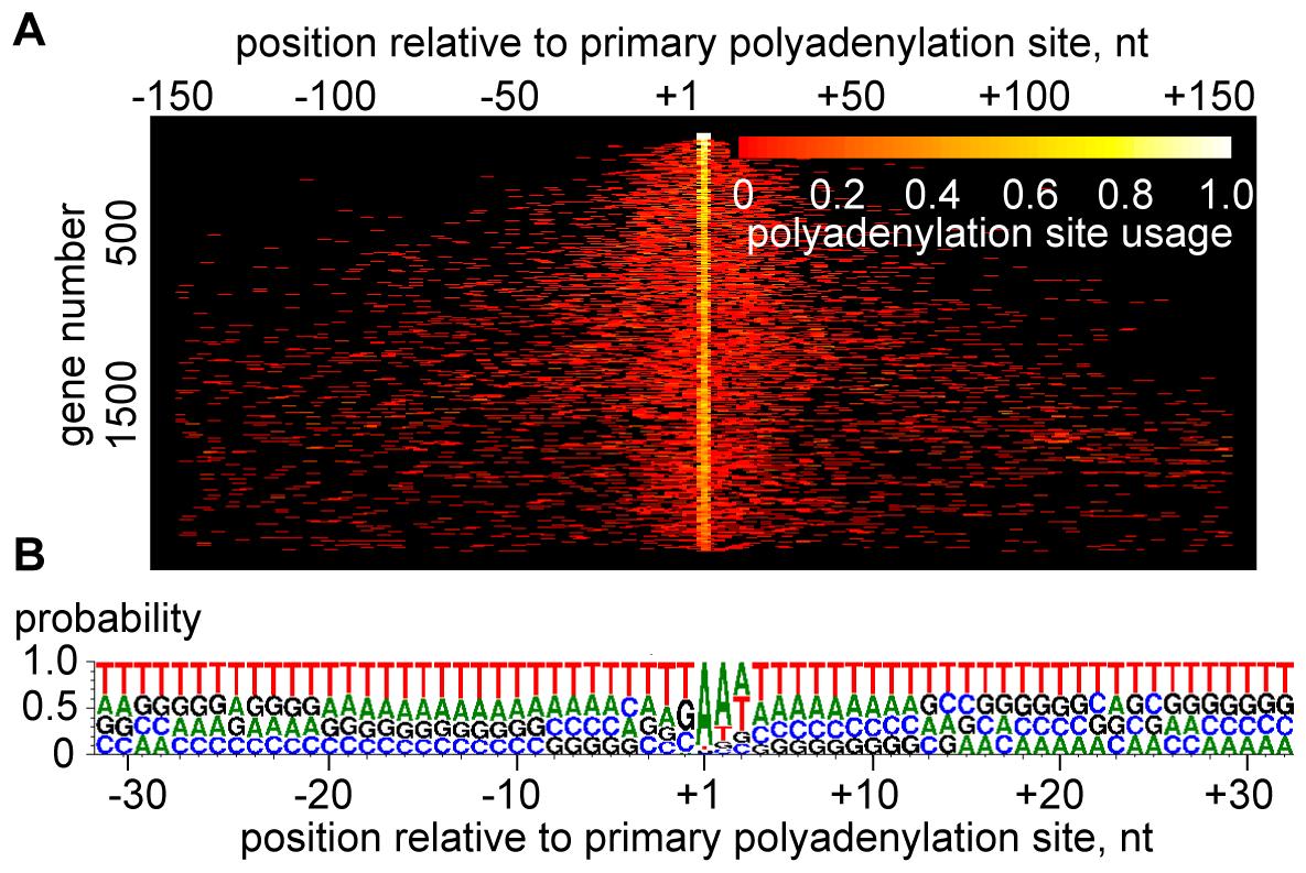 Heterogeneity of polyadenylation sites.