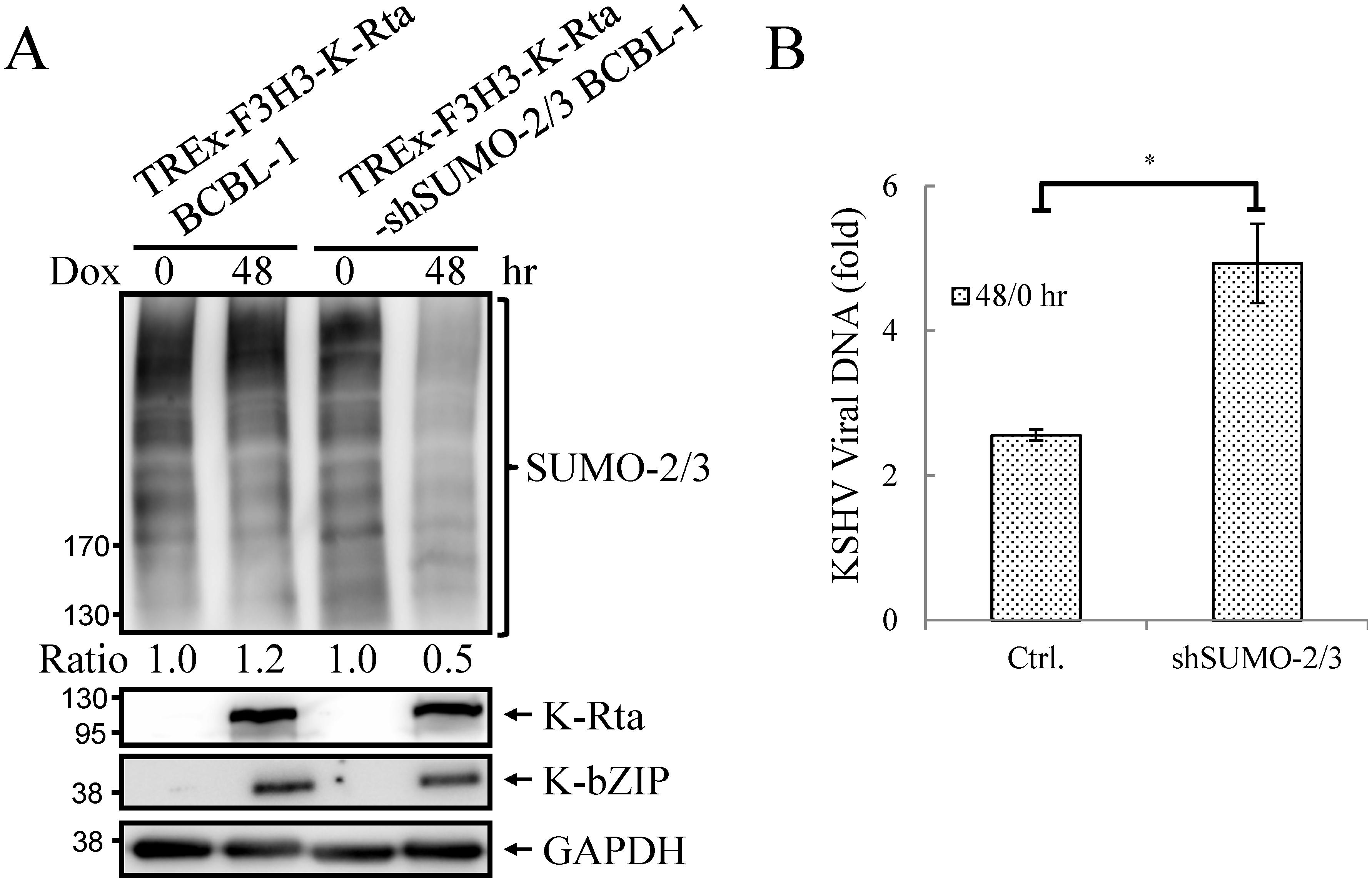 Knockdown SUMO-2/3 enhances KSHV virus production.