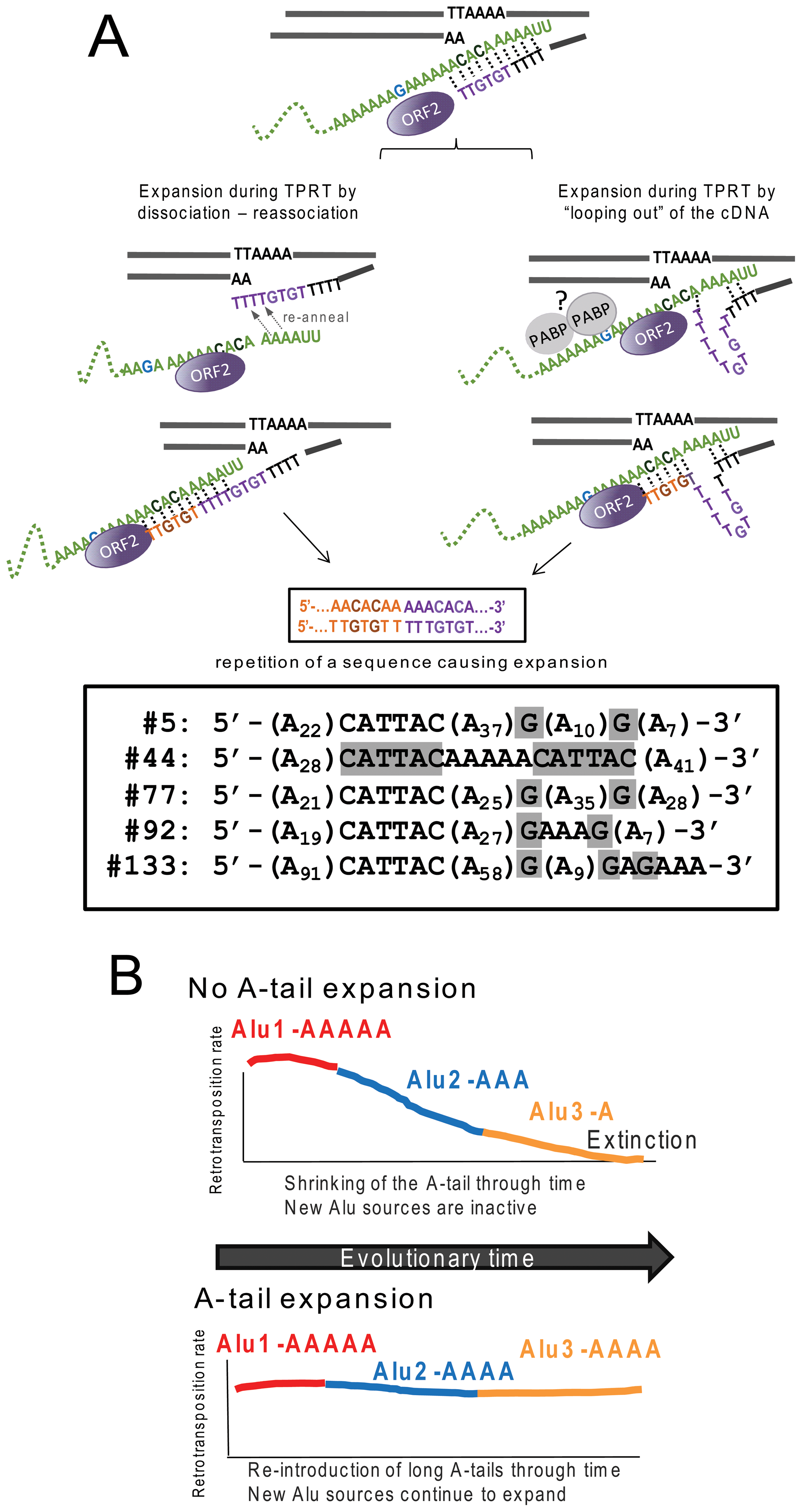 Reverse transcription by L1 ORF2p increases A-tail length of new Alu inserts and helps maintain viable Alu source elements over evolutionary time.