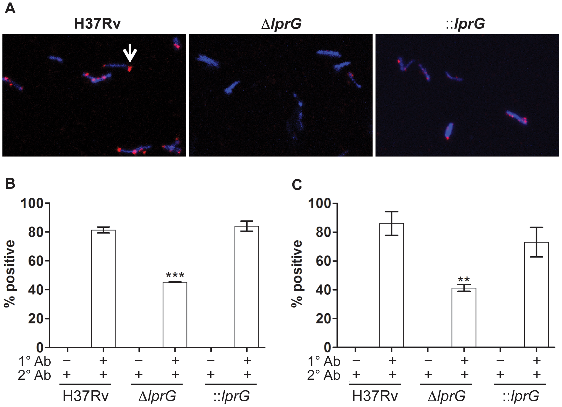Surface staining reveals reduced LAM on the <i>lprG</i> mutant cells.