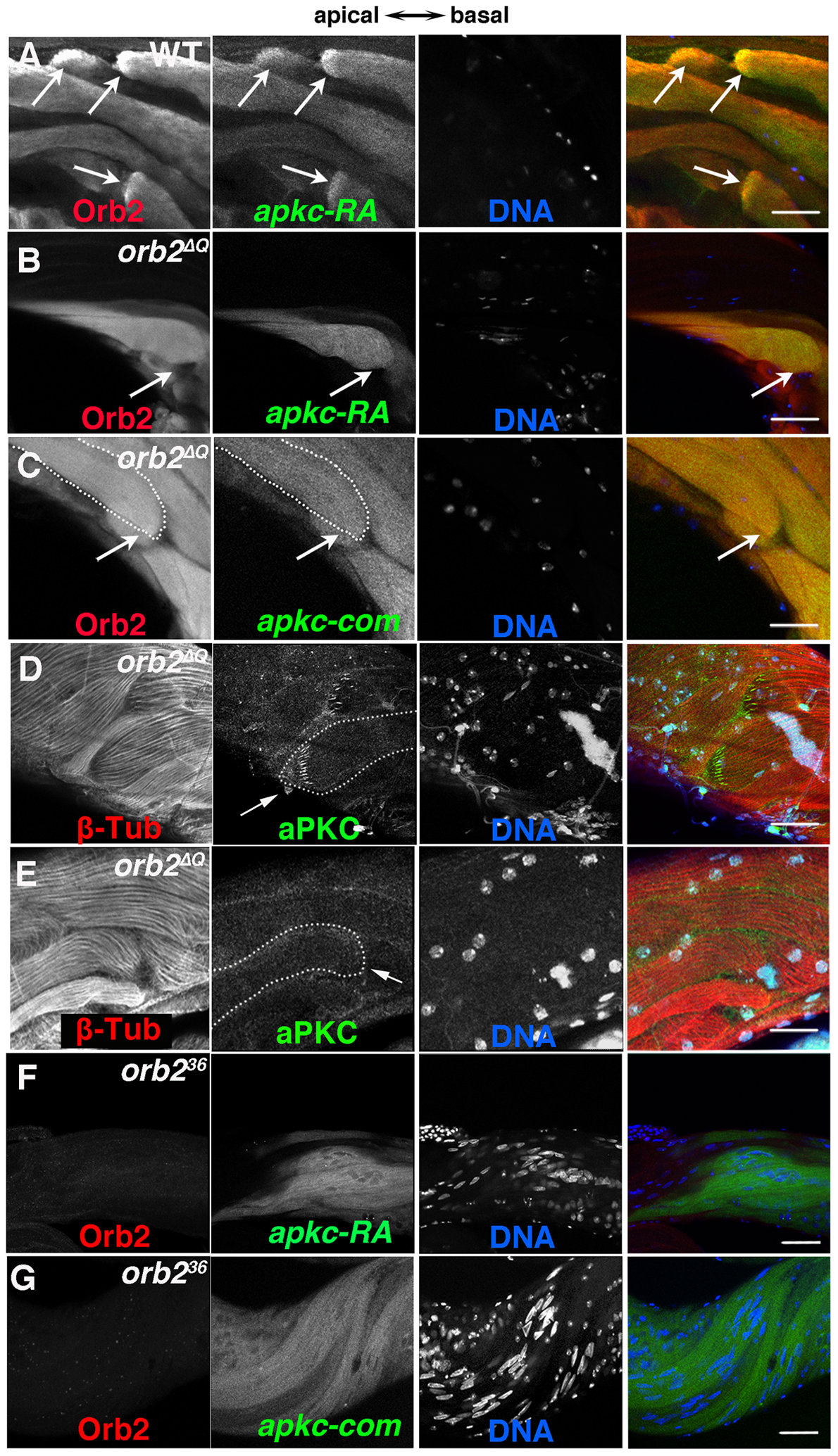 <i>orb2</i> is required for polarized accumulation of <i>apkc-RA</i> mRNA and aPKC protein in spermatid cysts.