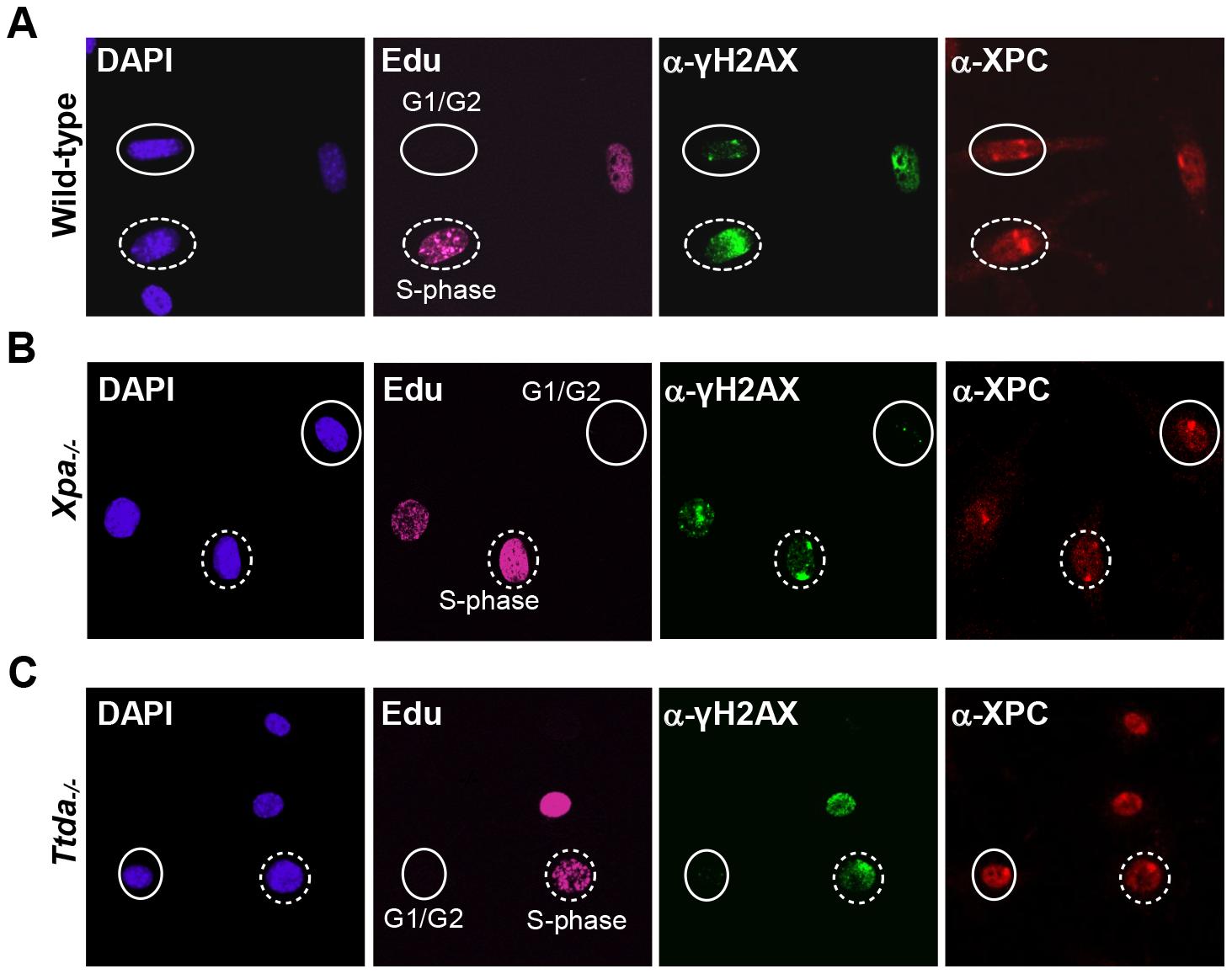 γH2AX signaling is abolished in <i>Ttda<sup>−/−</sup></i> MEFs.