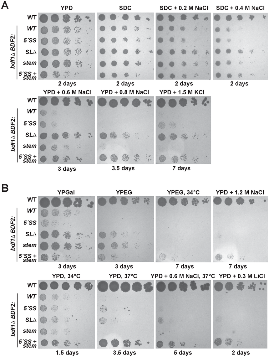 Mutation of the Rnt1p target stem-loop and 5′-splice site suppresses <i>bdf1Δ</i> growth defects in various environmental conditions.