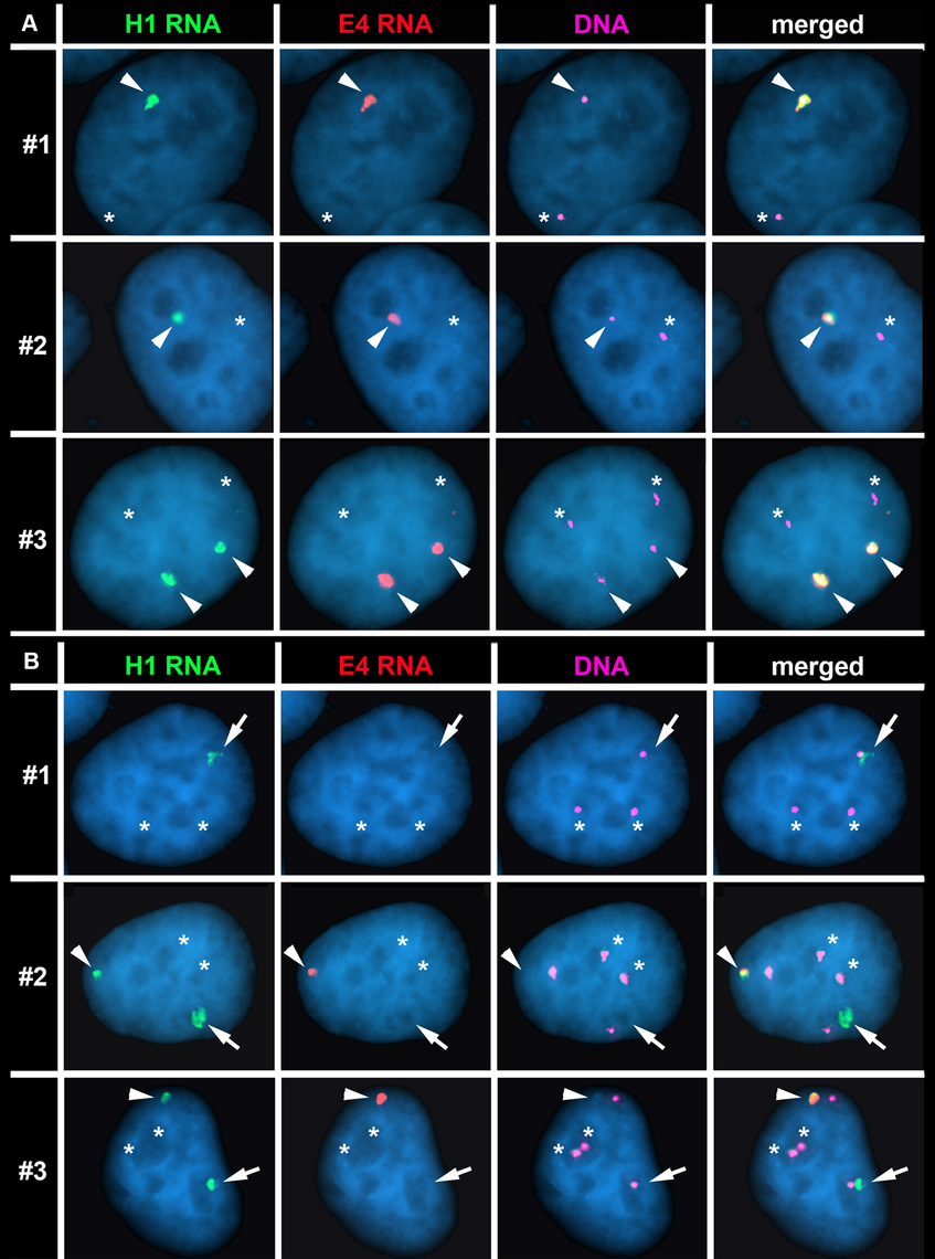 The Cre/loxP-mediated deletions occurred on the expressed allele of <i>ASAR15</i>.