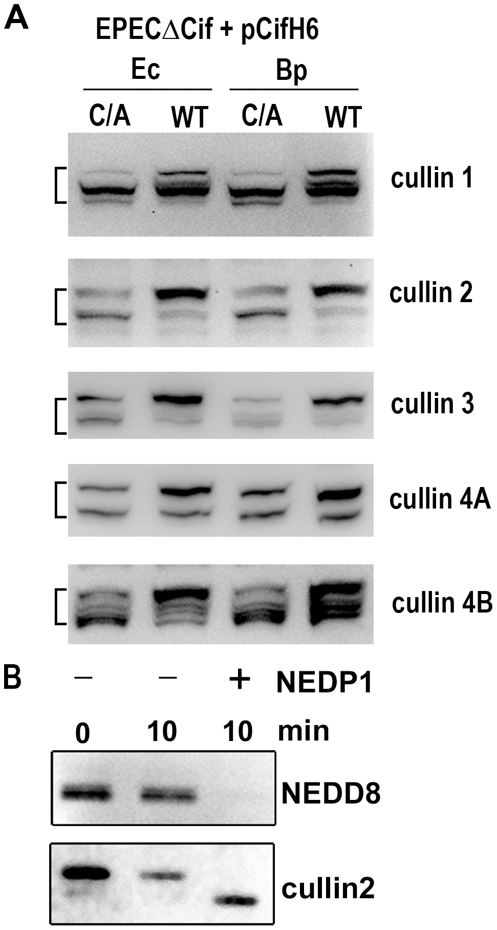 Cif induces the accumulation of NEDD8-conjugated cullins in host cells.