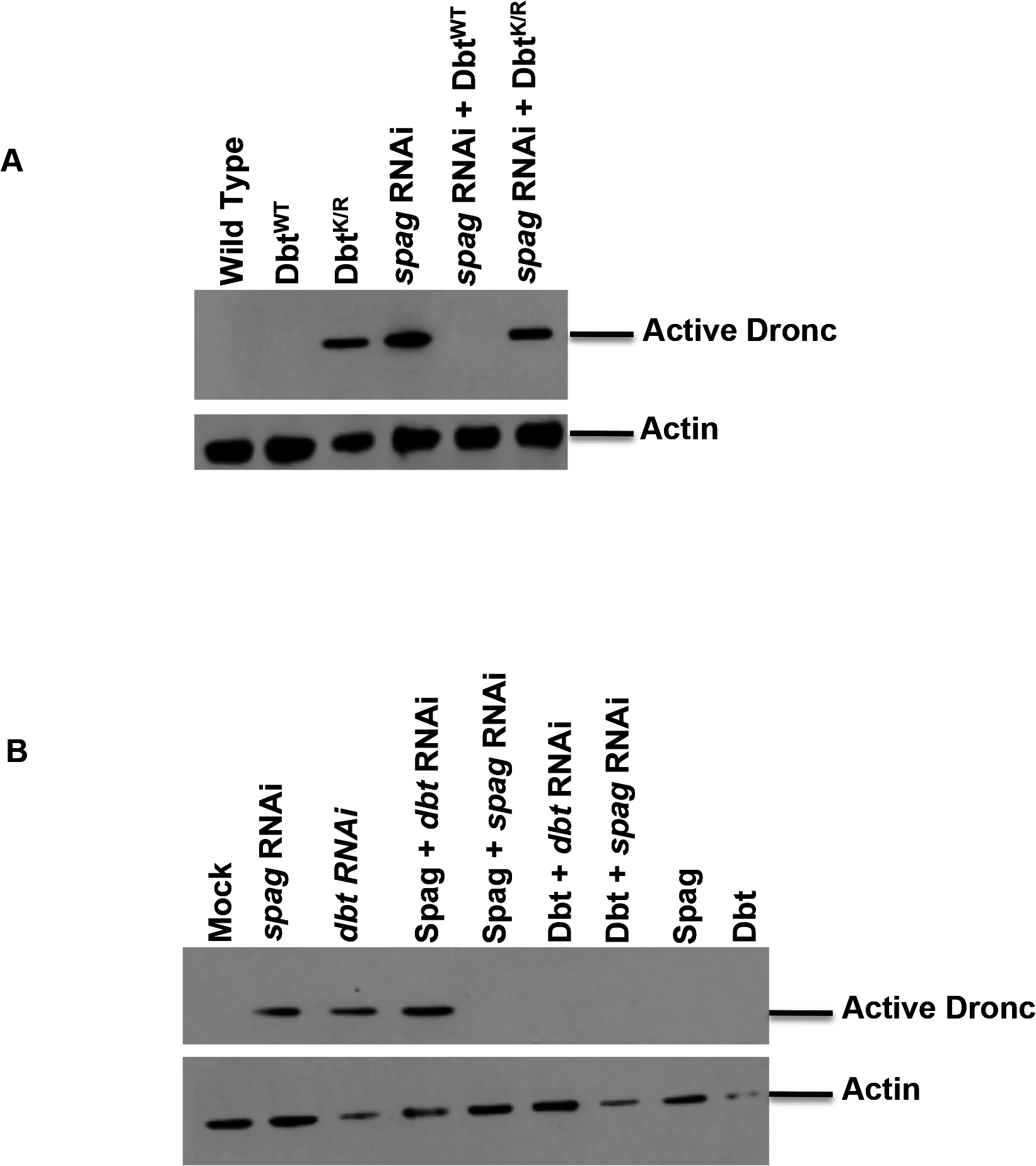 Overexpression of Dbt<sup>WT</sup> can rescue the caspase activation associated with <i>spag</i> RNAi.