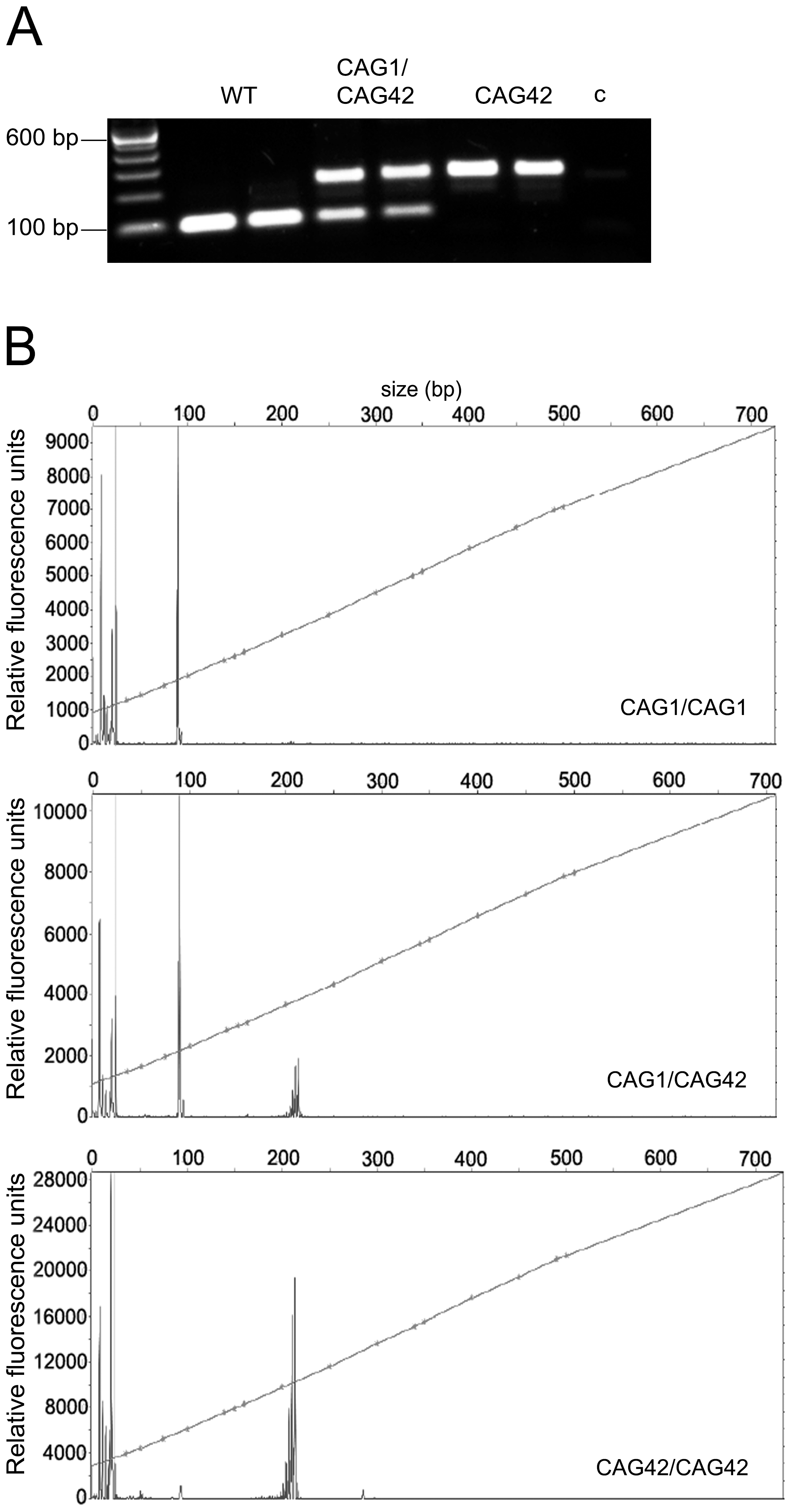 The paternal and maternal transmission of the 42 CAG repeat is stable.