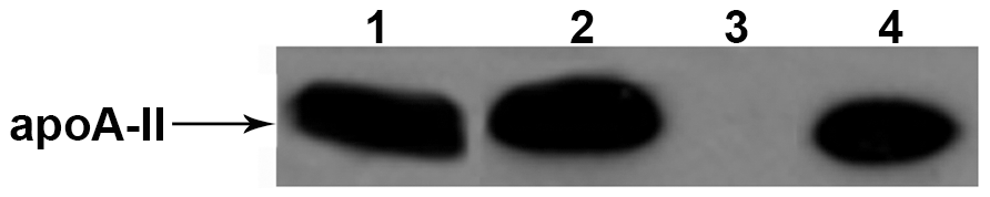 Western blot analysis of amyloid fibril fractions extracted from muscles used for secondary transmission.