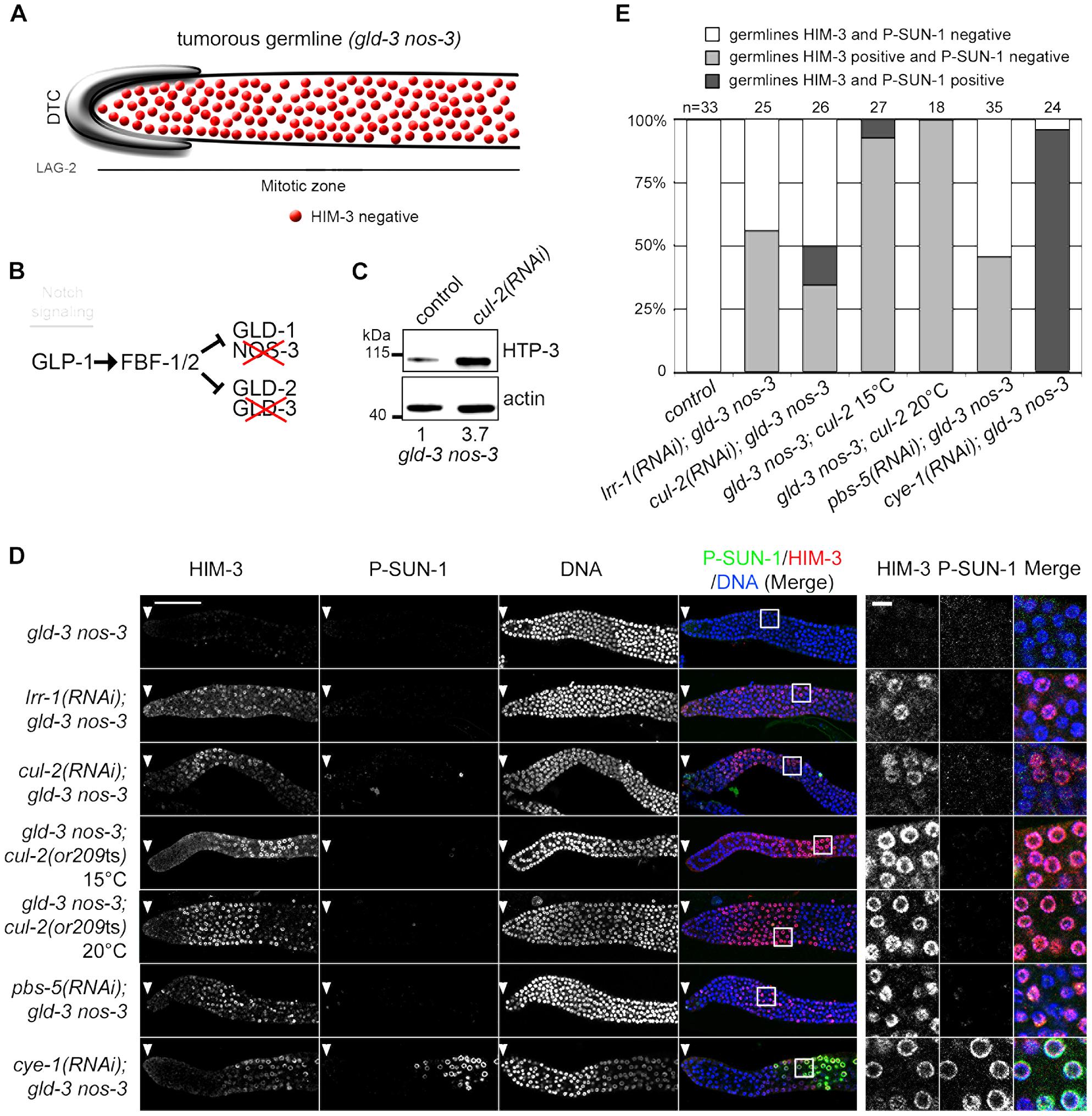 CRL2<sup>LRR-1</sup> E3-Ligase controls HIM-3 loading on chromosomes.