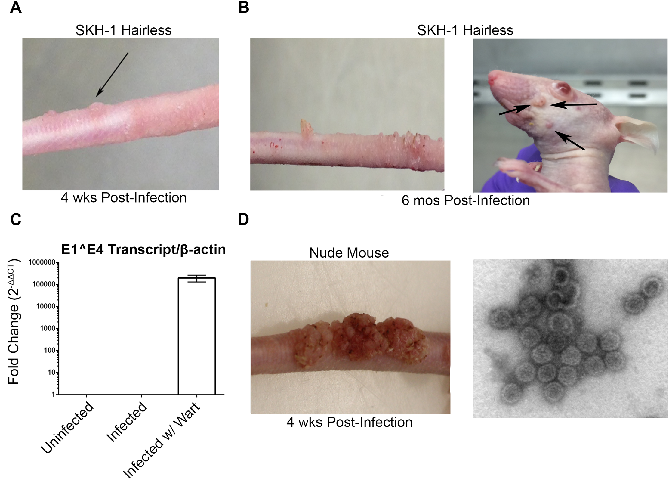 MusPV1 infection and disease in outbred SKH-1 mice and immunocompromised controls.