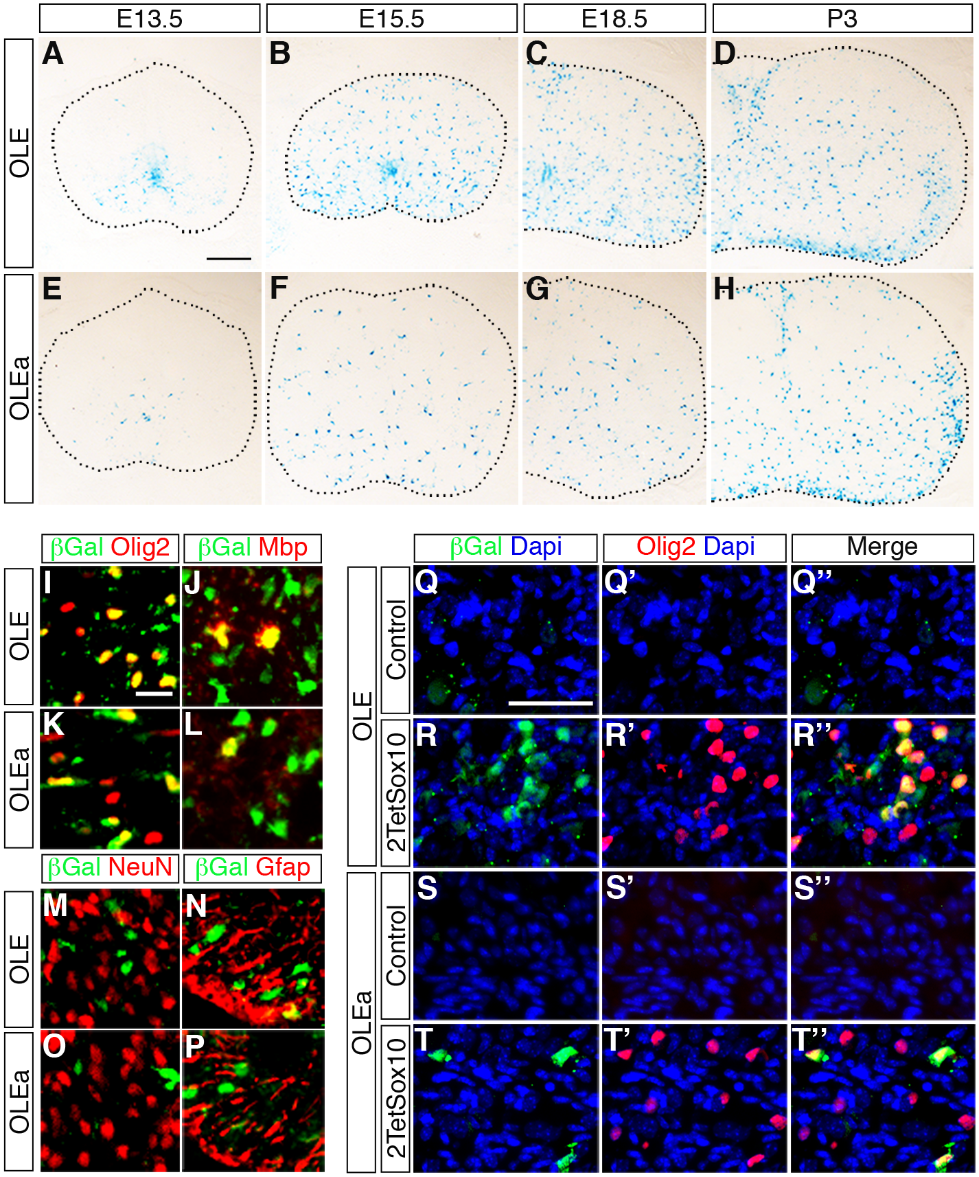 OLE is a Sox10-dependent oligodendroglial enhancer in vivo.