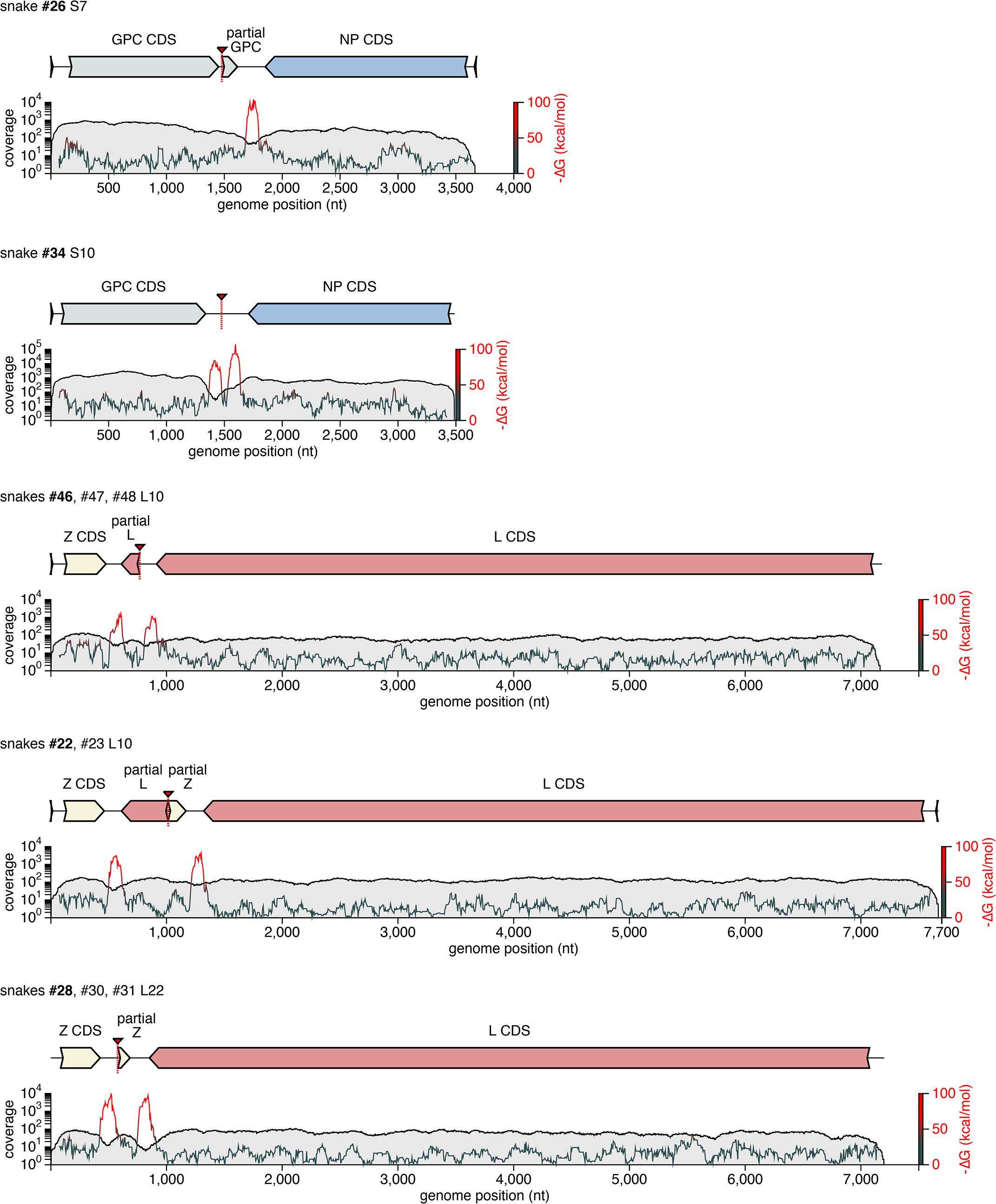 Recombinant genome segments with unusual organizations.