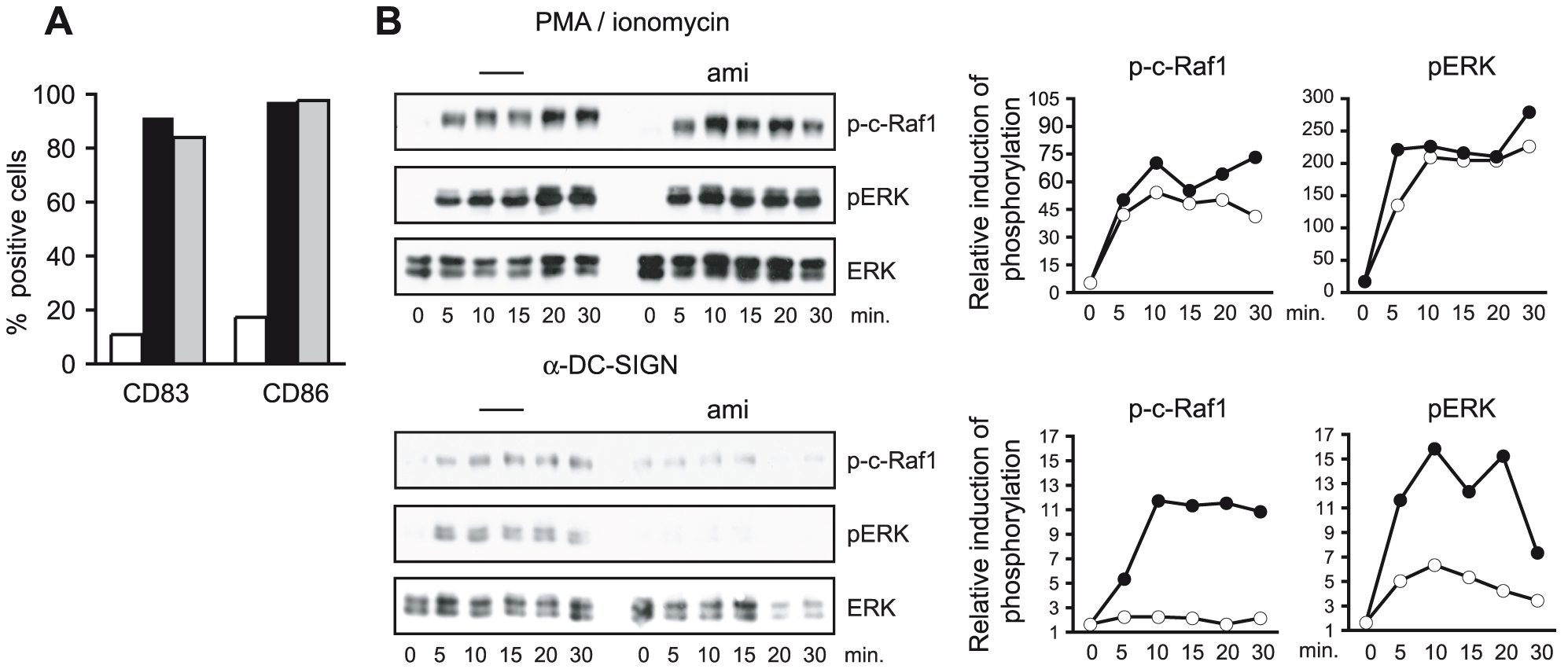 ASM activity is essential for DC-SIGN signaling.