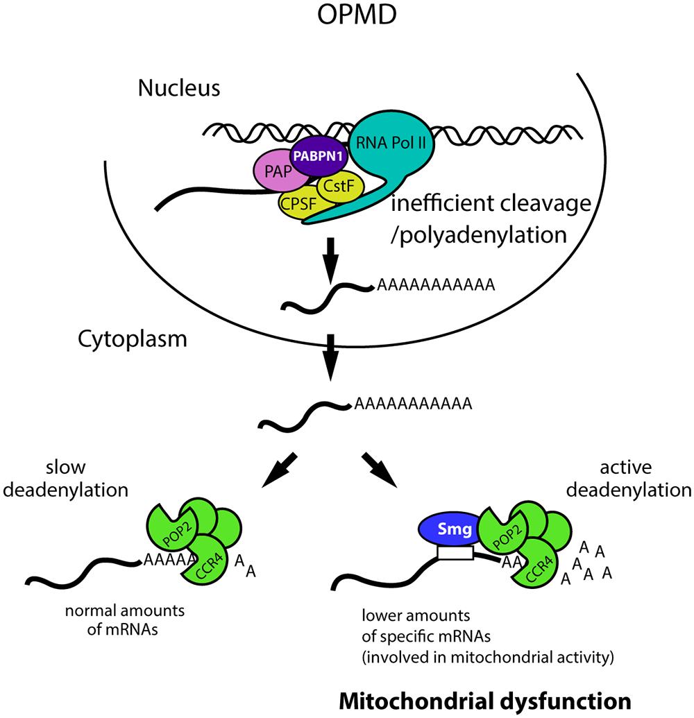 Molecular model of OPMD.