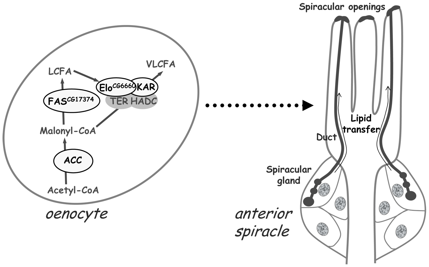 A VLCFA–dependent remote signal from the oenocytes controls lipid transfer within the spiracles.