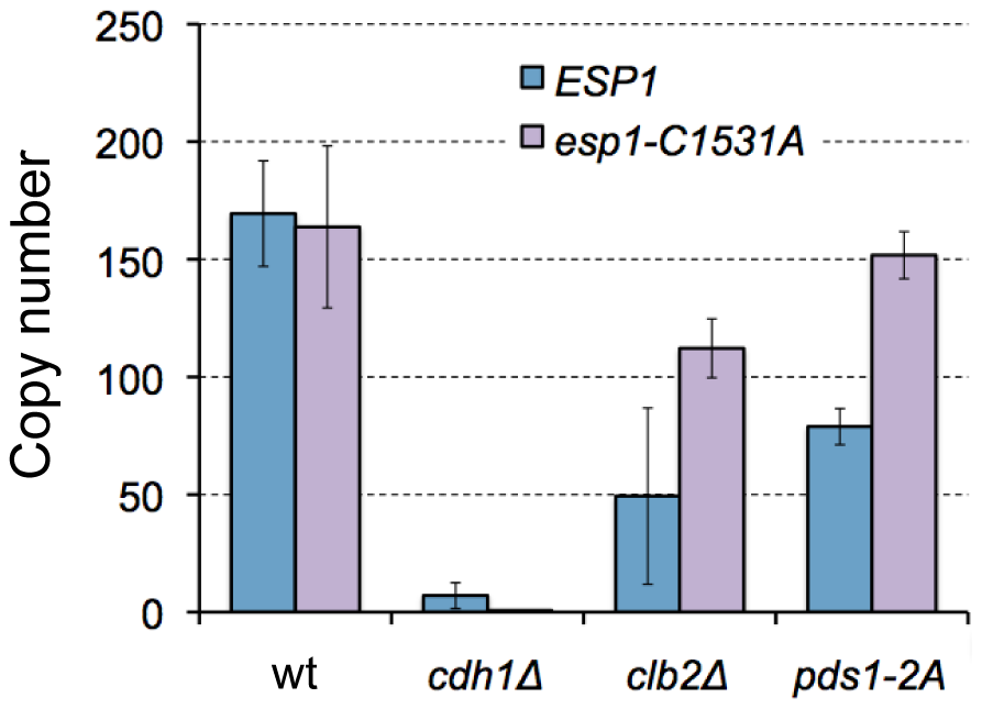 Limits of overexpression of <i>esp1-C1531A</i> in wild-type, <i>clb2Δ</i>, and <i>cdh1Δ</i> mutant cells.