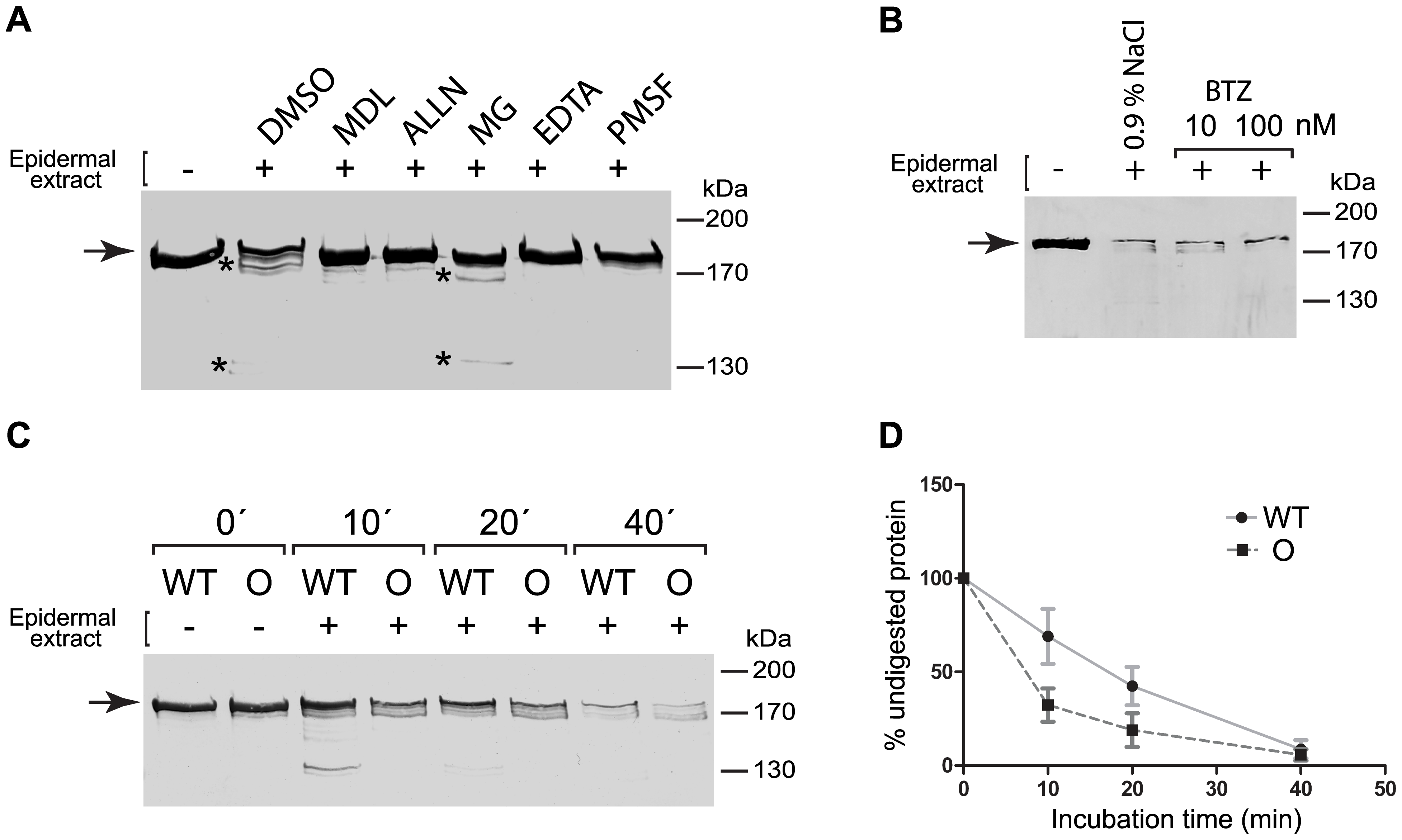 The Ogna mutation sensitizes plectin's RD to degradation by epidermis-specific proteolytic activities.