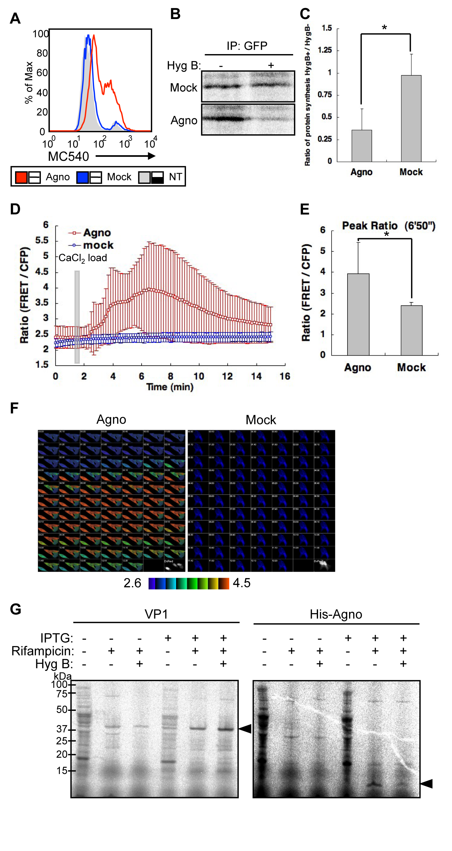 Agnoprotein impairs membrane integrity.