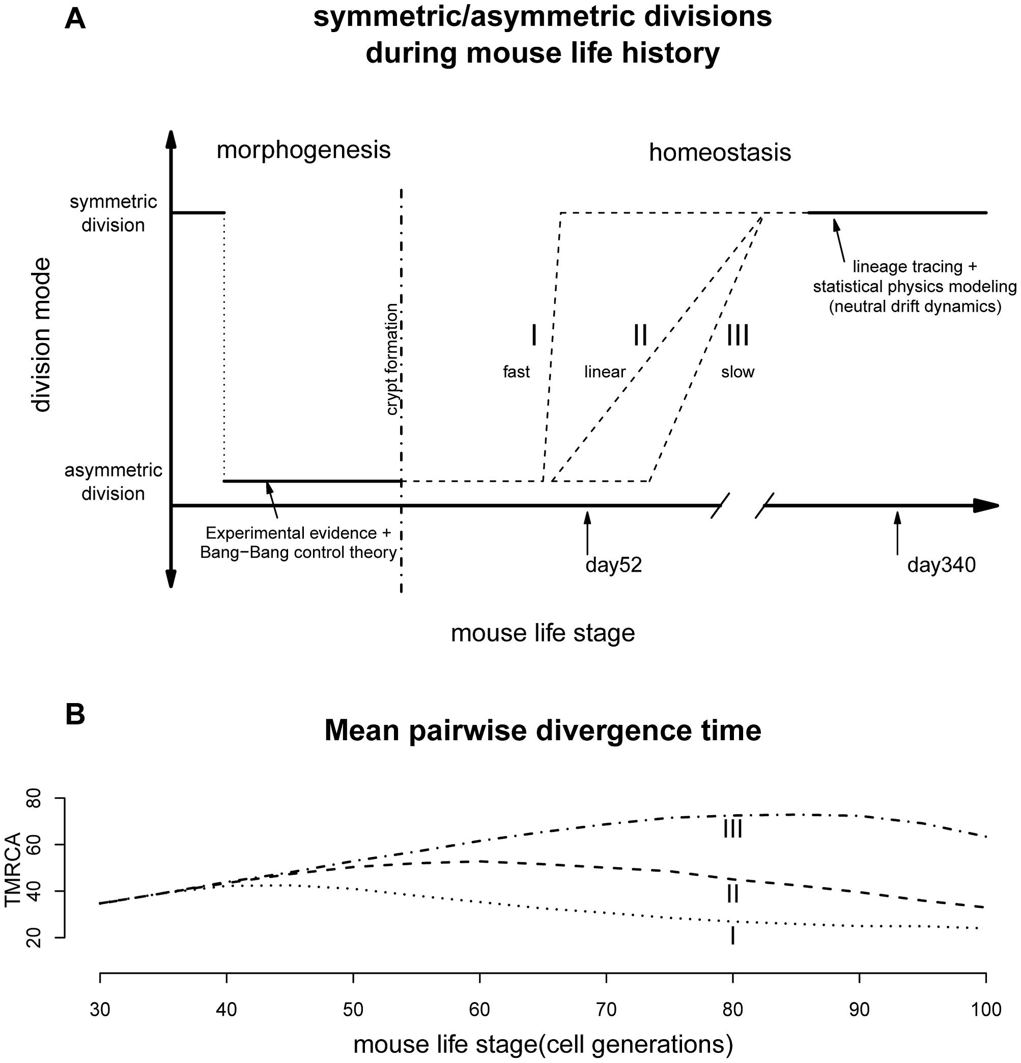 Lifelong equilibrium for stem cell symmetric/asymmetric divisions.